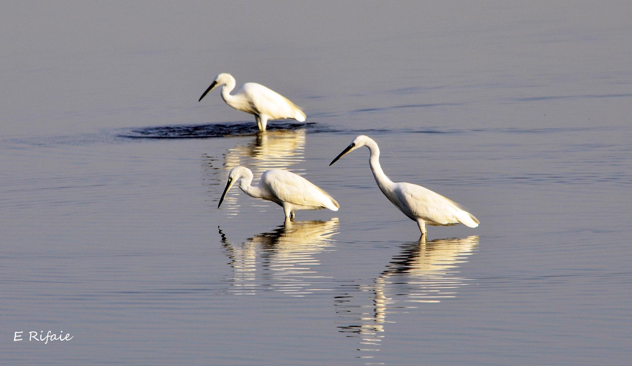 Three birds by Emad Eldin Moustafa El Refaie