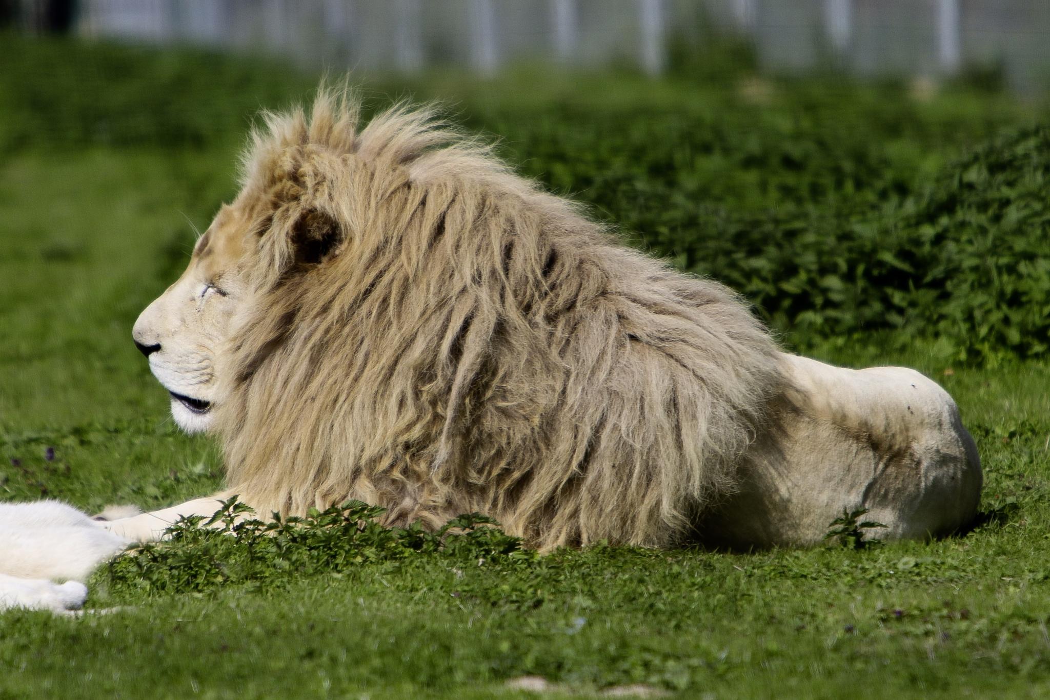 Lion by Noir Blanc gris