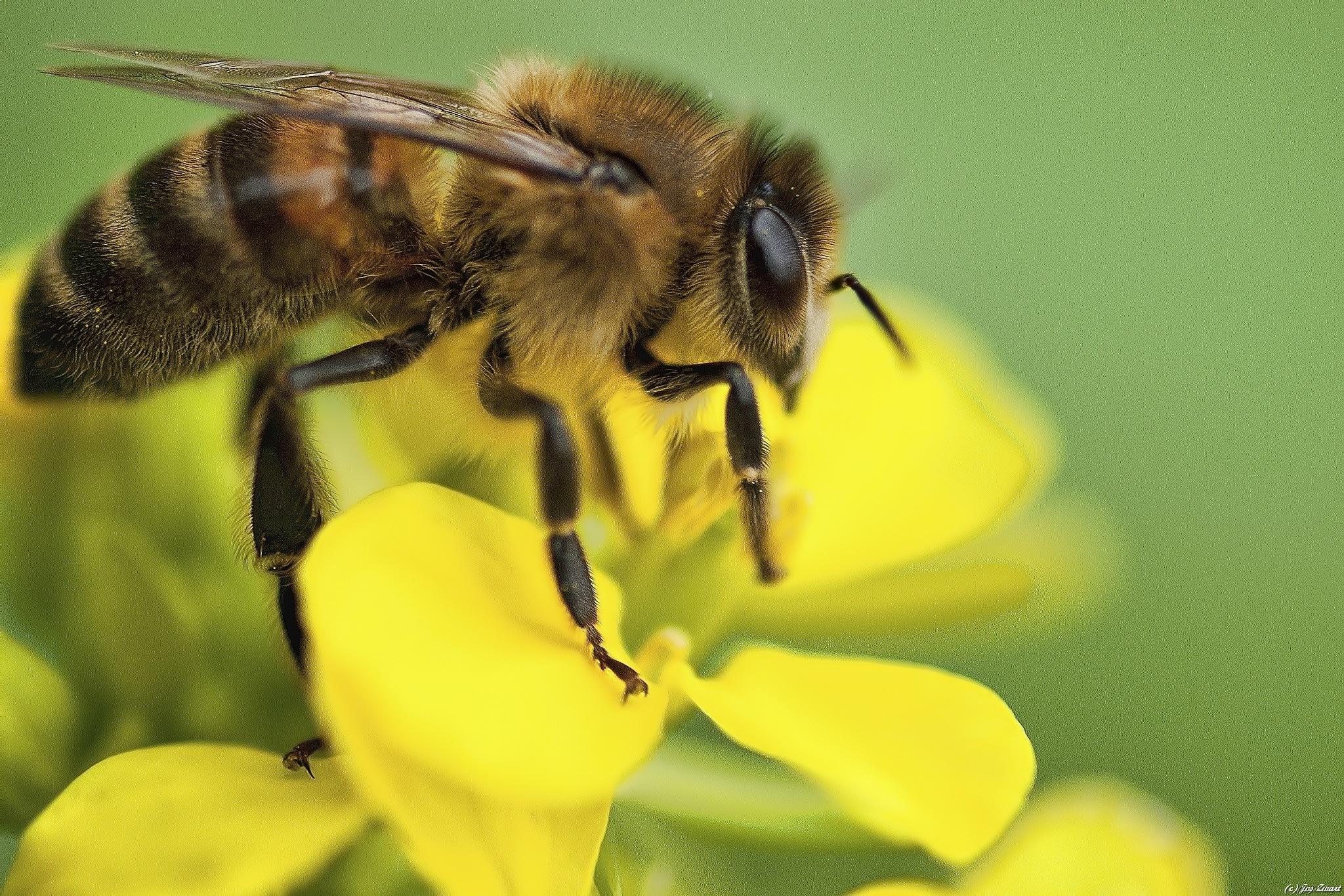 Bee by Jos Zwart