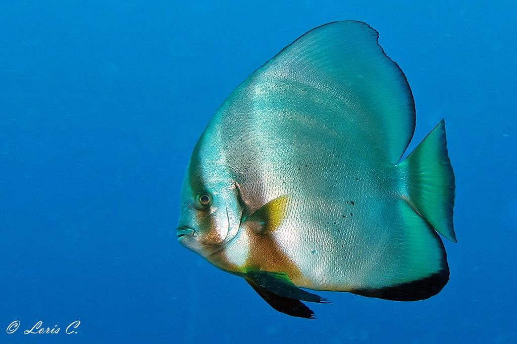 Pesce pipistrello a disco ( Platax orbicularis) by loris.castello