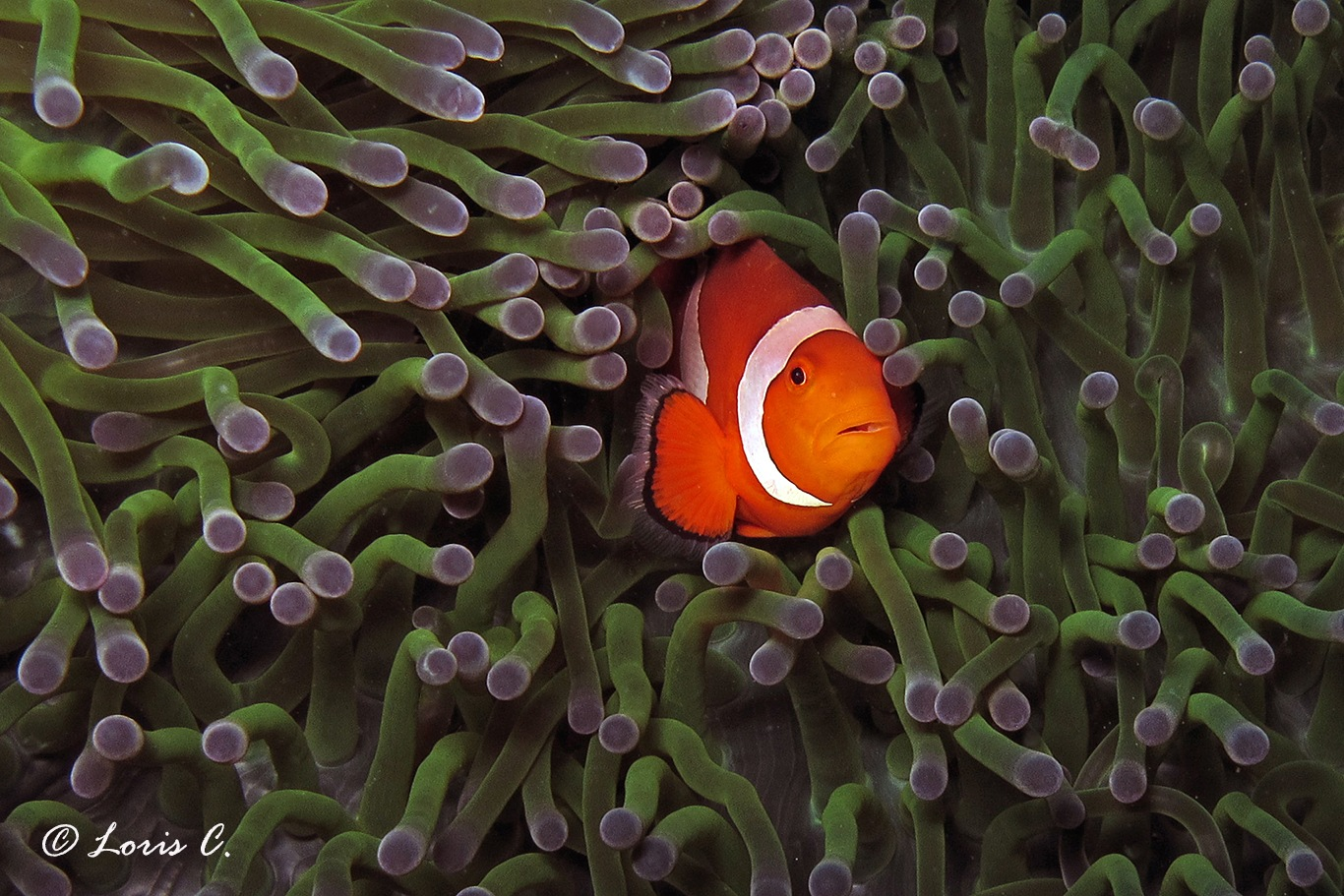 Pesce pagliaccio clown (Amphiprion ocellaris) by loris.castello