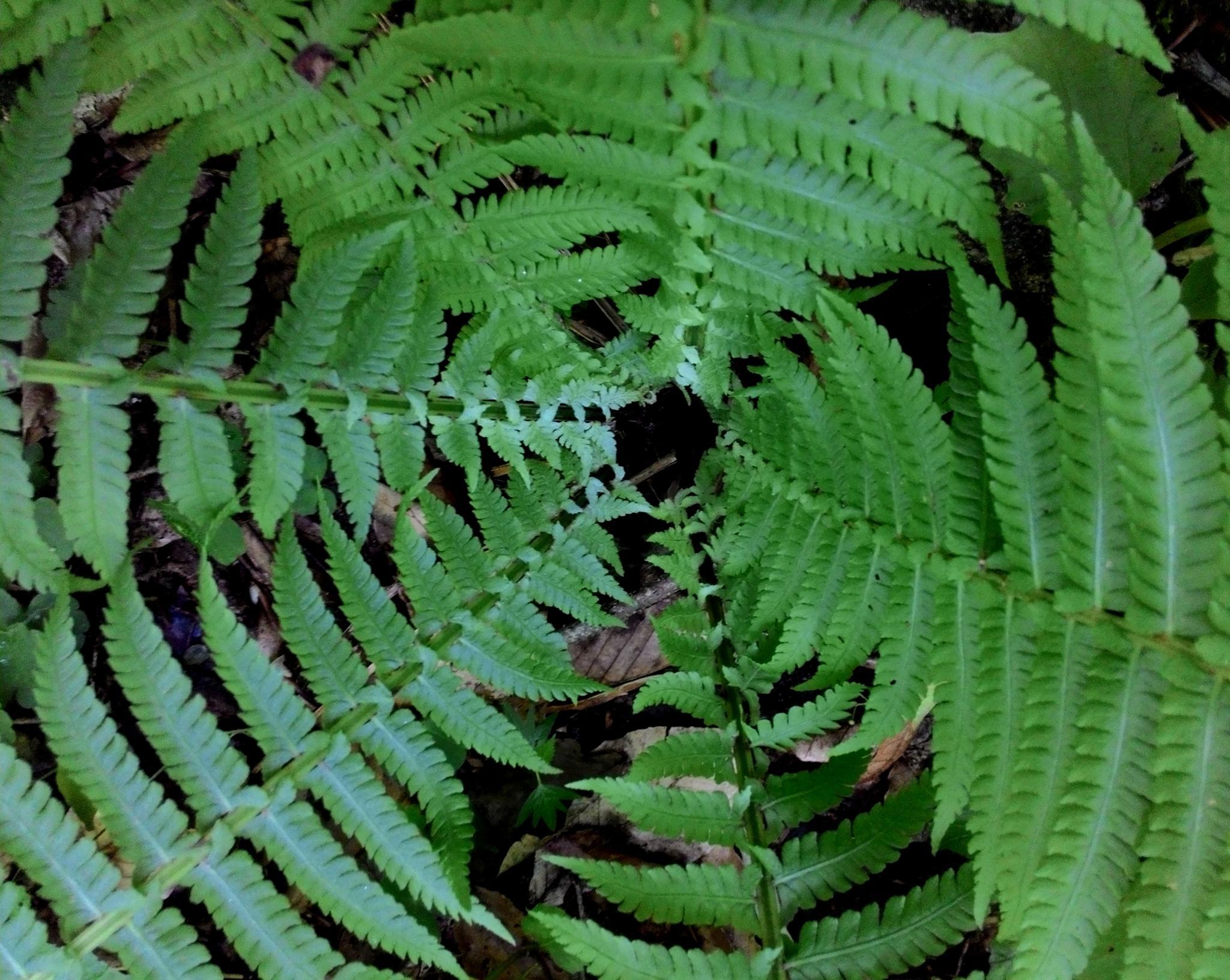 Fern leaves by manuta