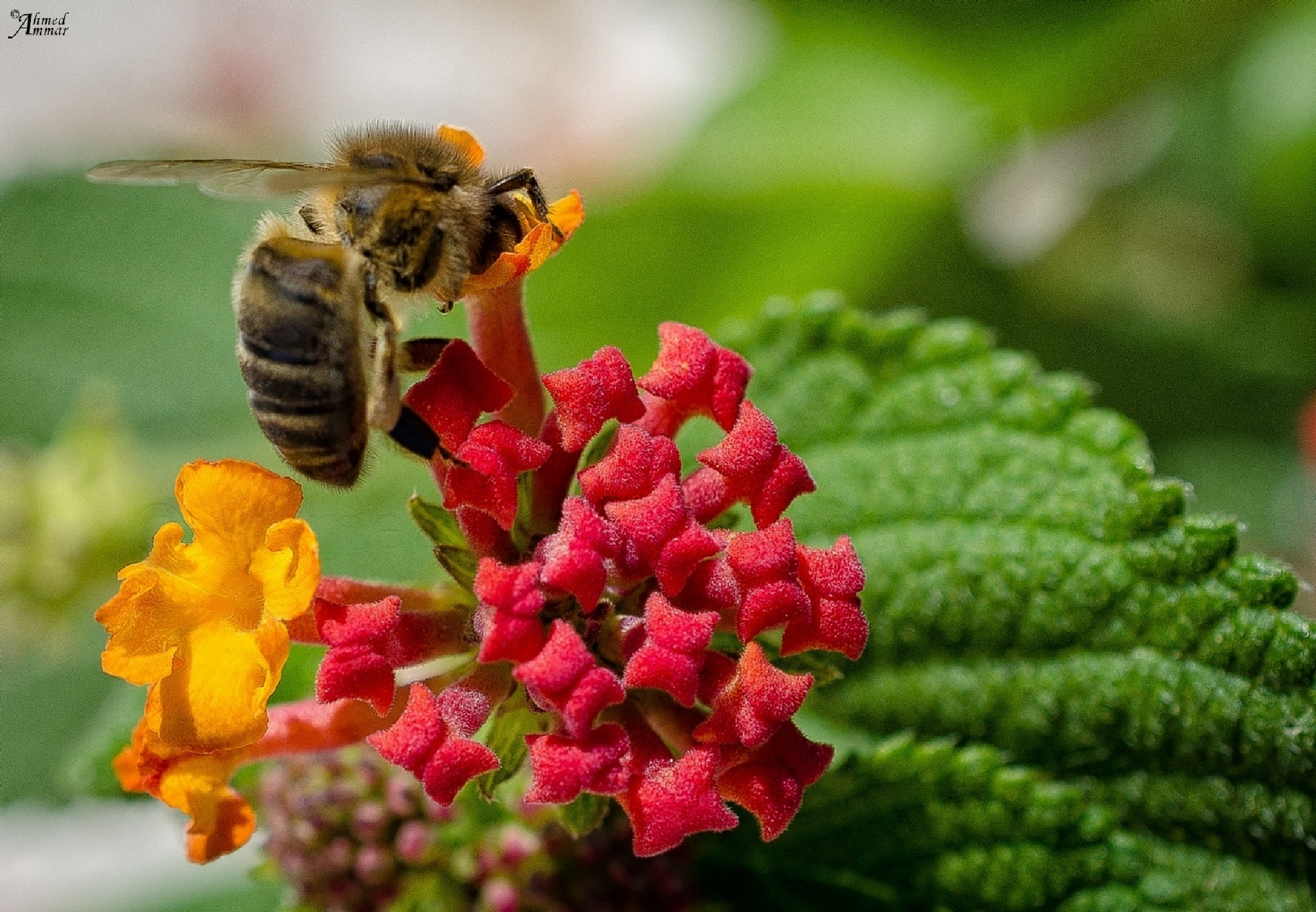 Bee by Ahmed Ammar Photographer