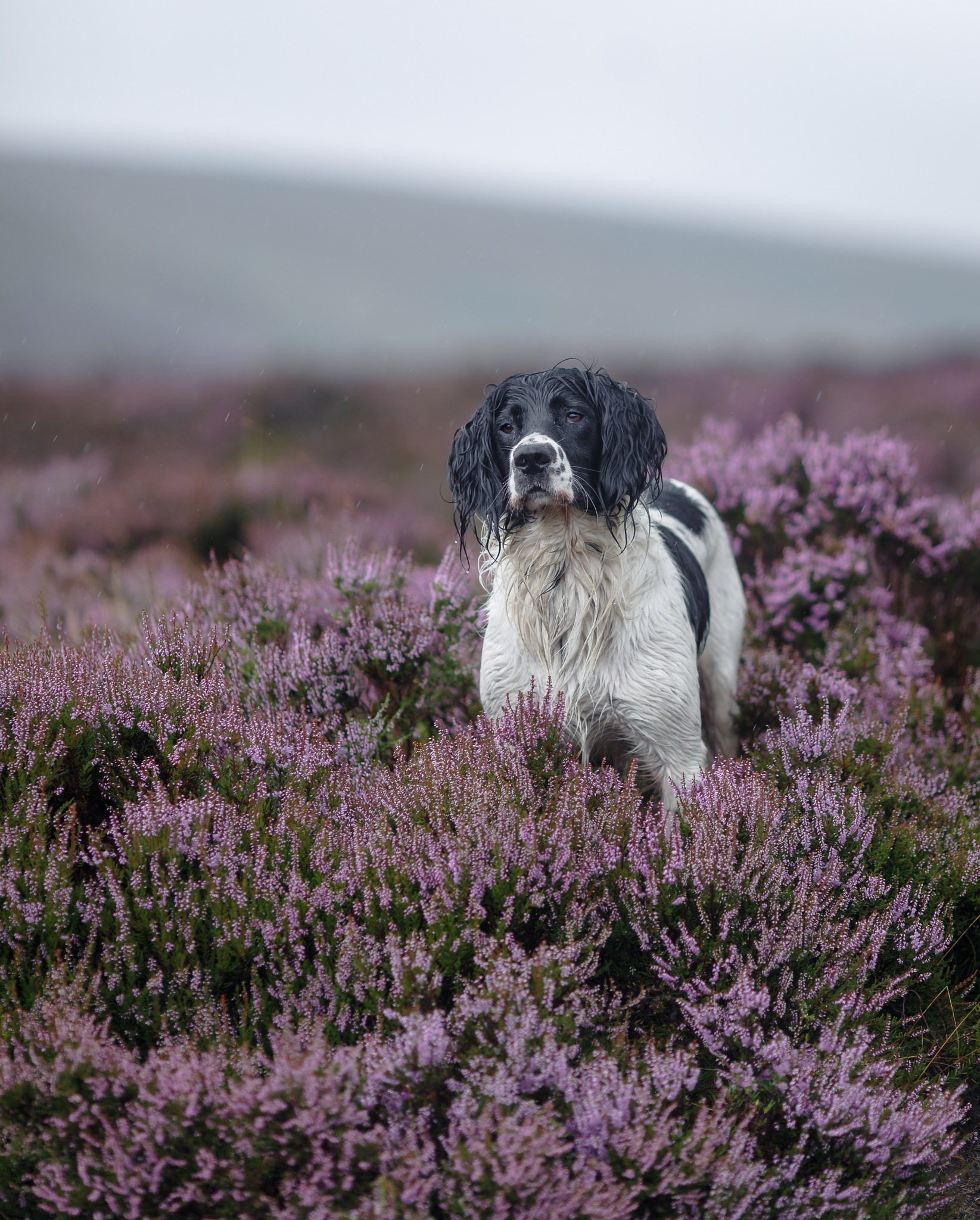 Wilf - Working springer spaniel  by Gina Rayment