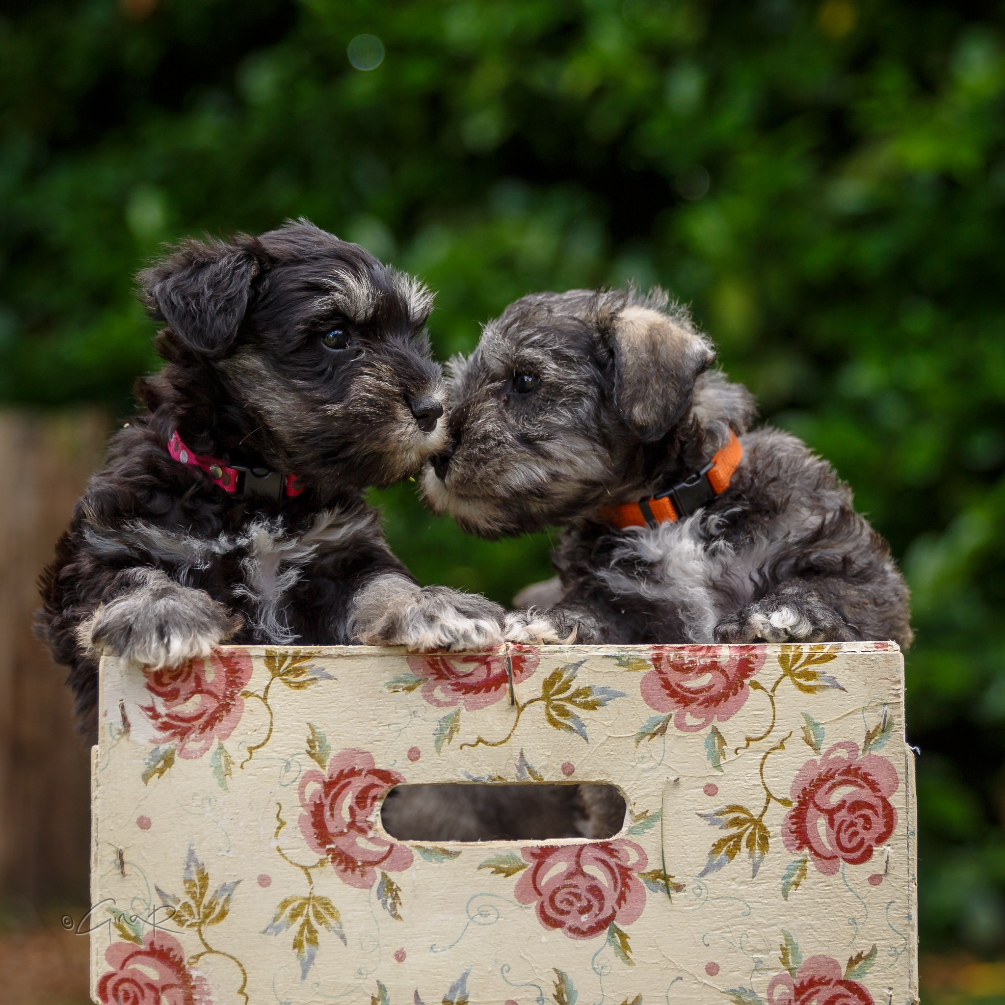 Loved my afternoon with these beauties yesterday..6 weeks old bundles of fun #puppylove #ginar#minat by Gina Rayment