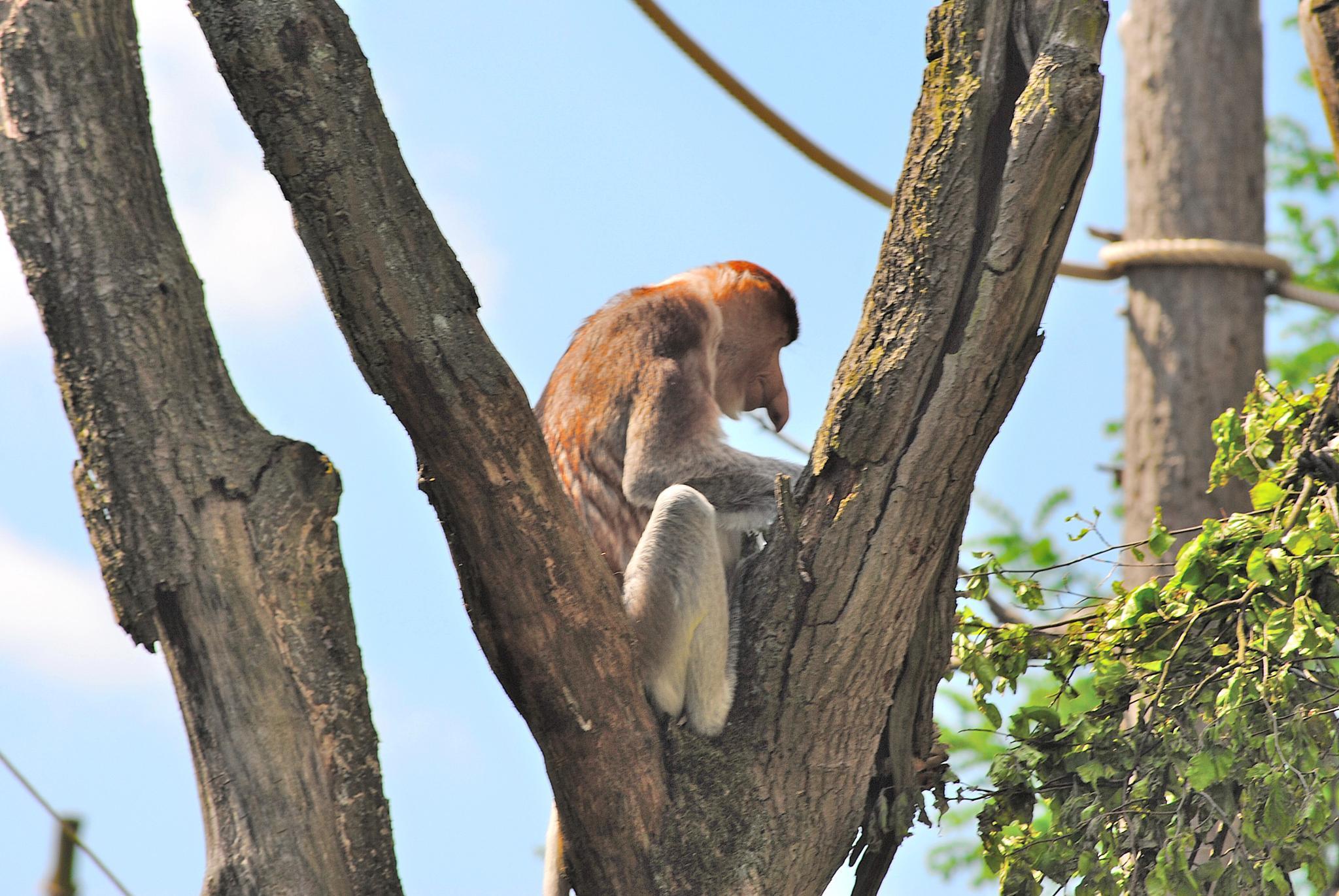Nose monkey by j.hoppe