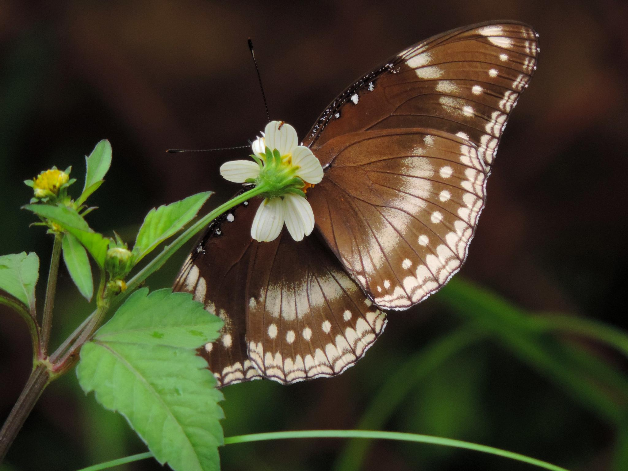 butterfly 12 by sunishchalananda