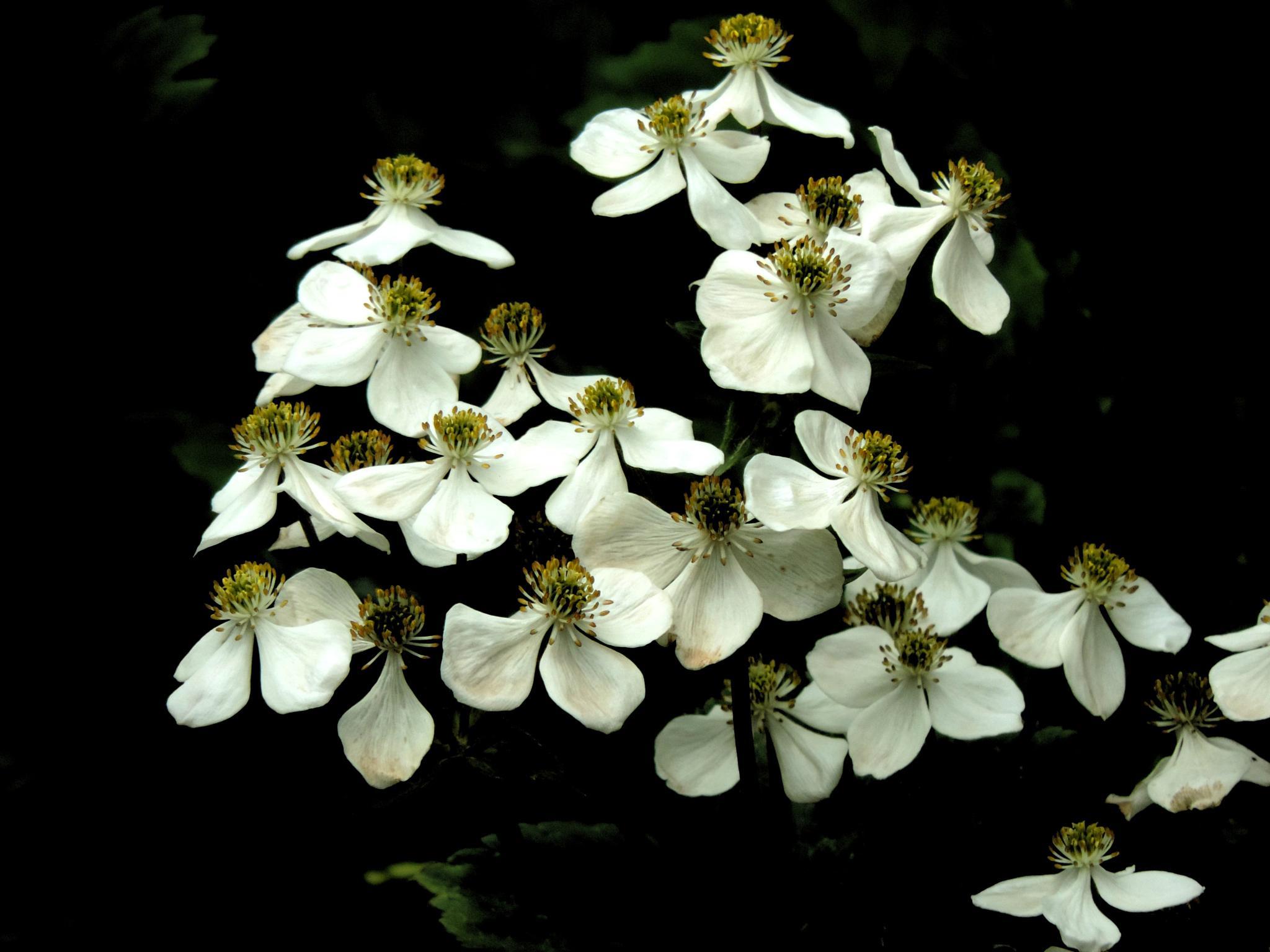 alpine flowers by sunishchalananda