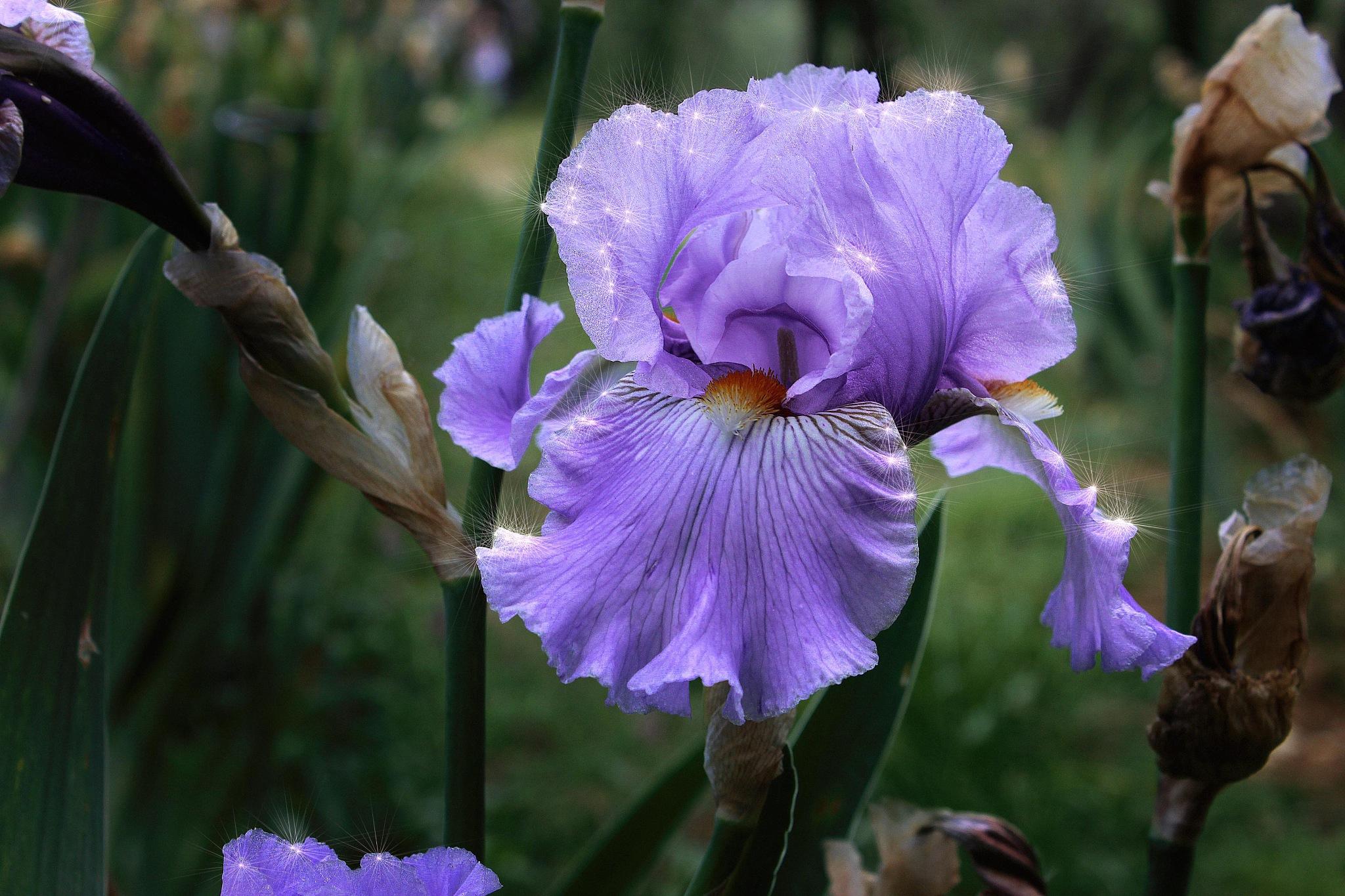 Iris Magico by silvestro cappellini