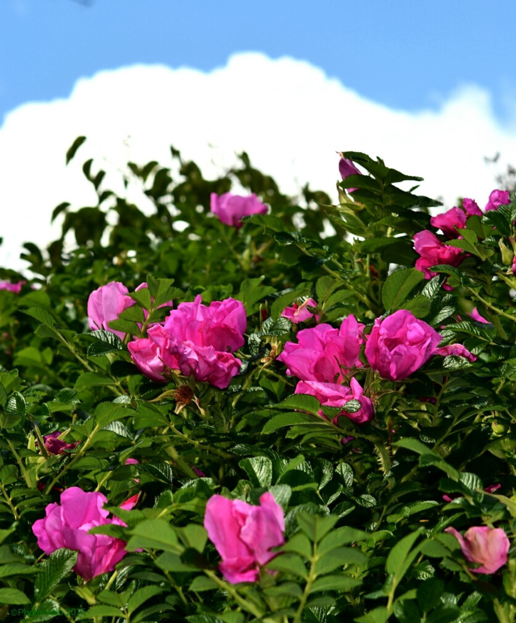 Rose bush by Timo V