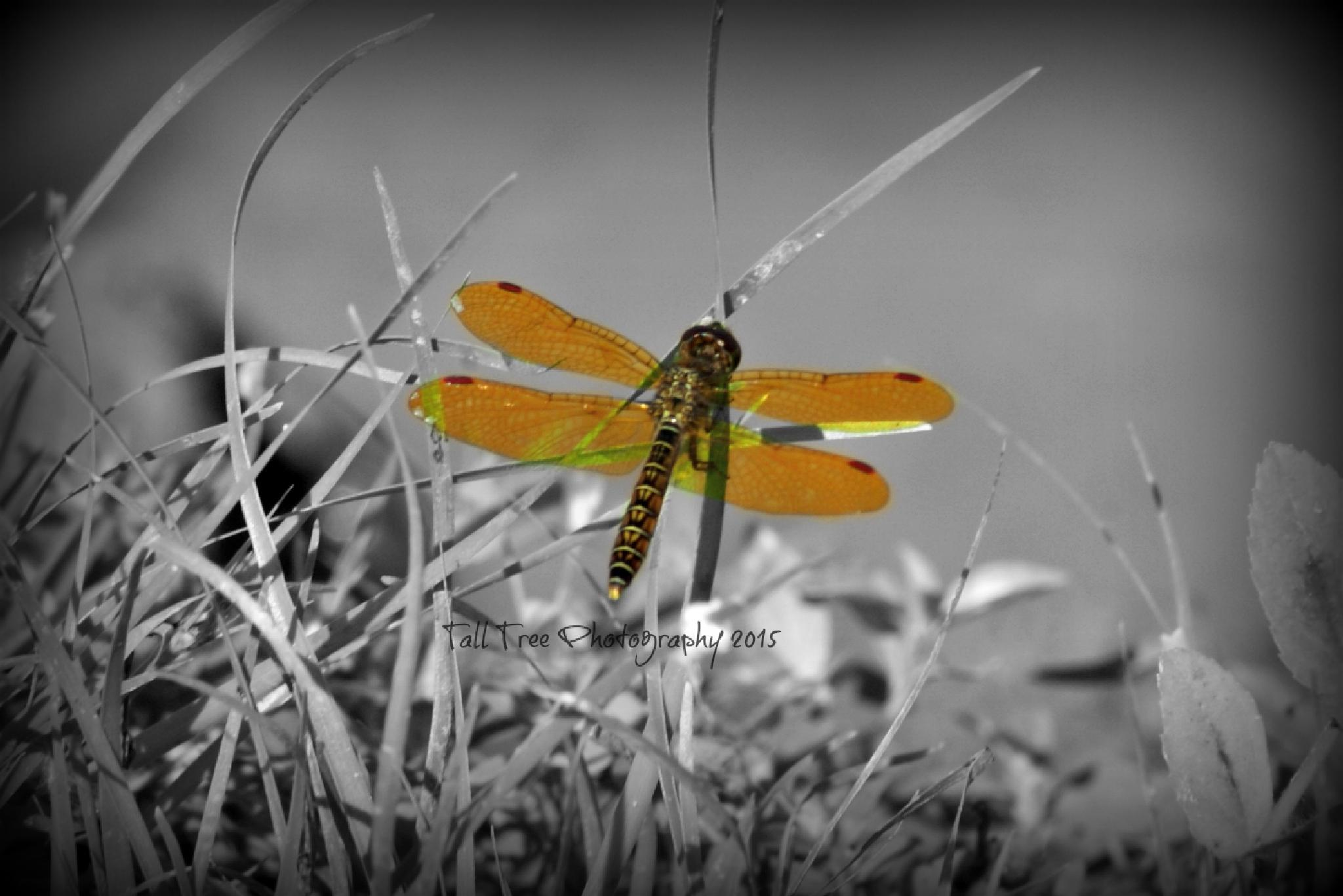 Orange Dragonfly by keiths_mommy_1