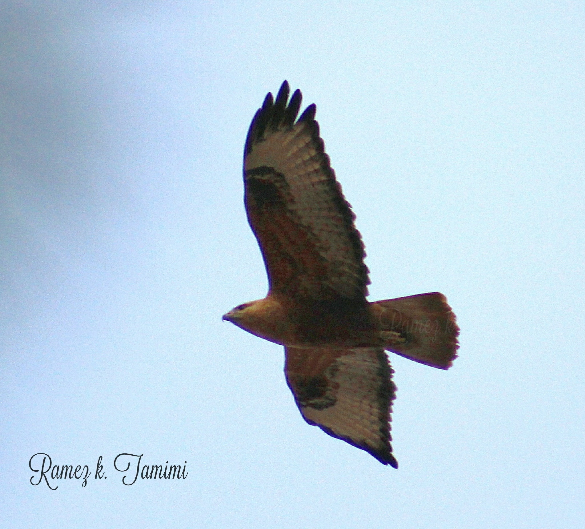 Falcon over my home .. by Ramez k. Tamimi