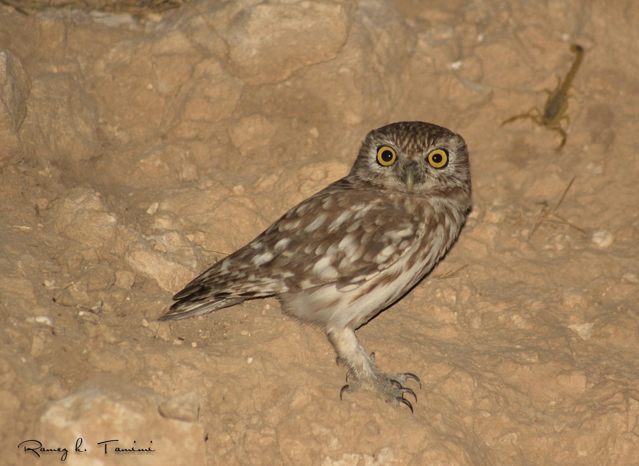 OWL and scorpion by Ramez k. Tamimi