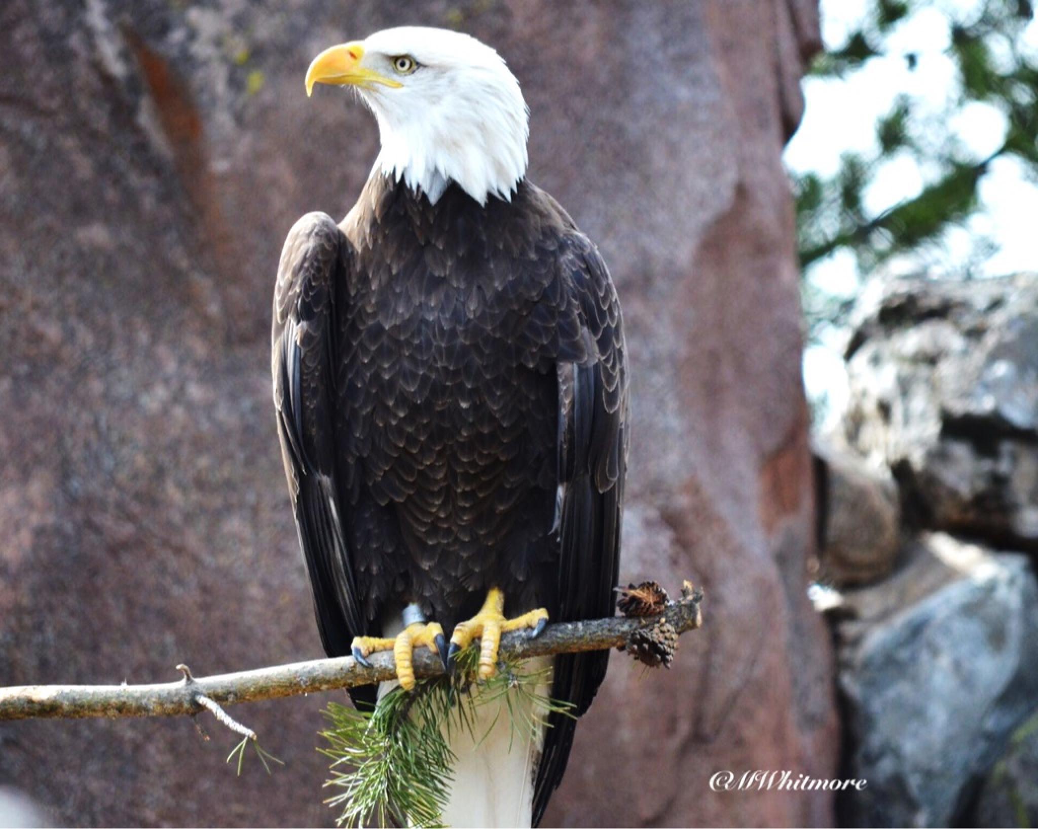 Eagle  by mwhitmore3