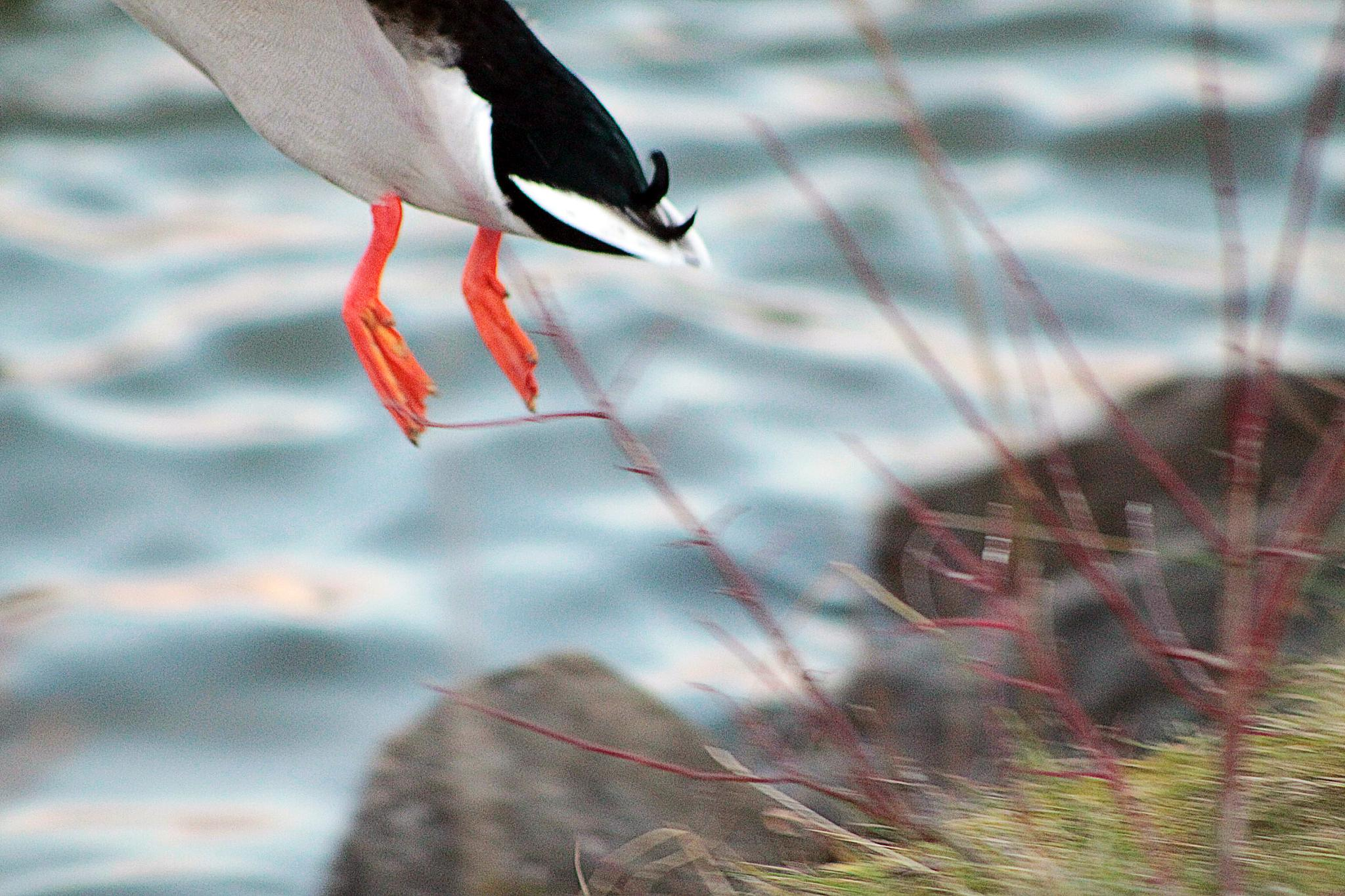 Duck ;-)  Fly away by koifan