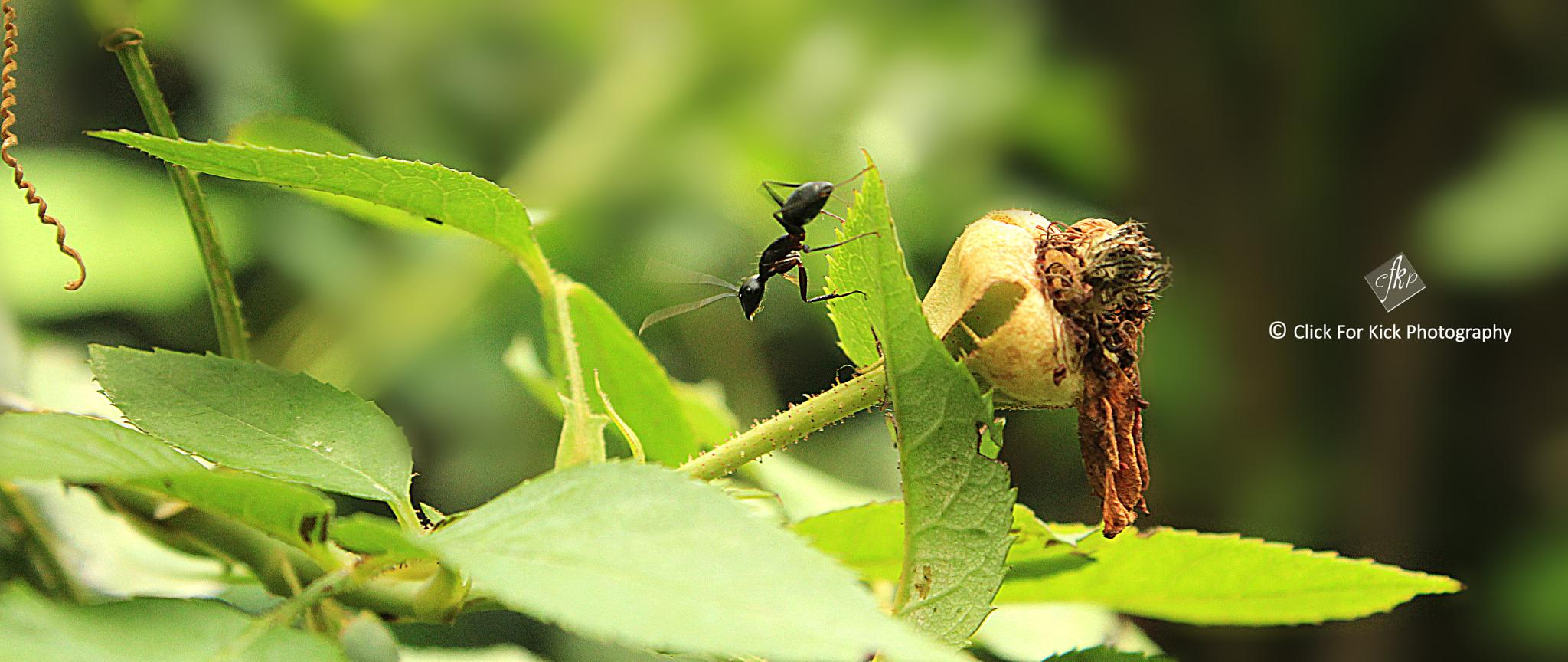 Black Emmett On Rose Leaf. by kaushiksrivastav