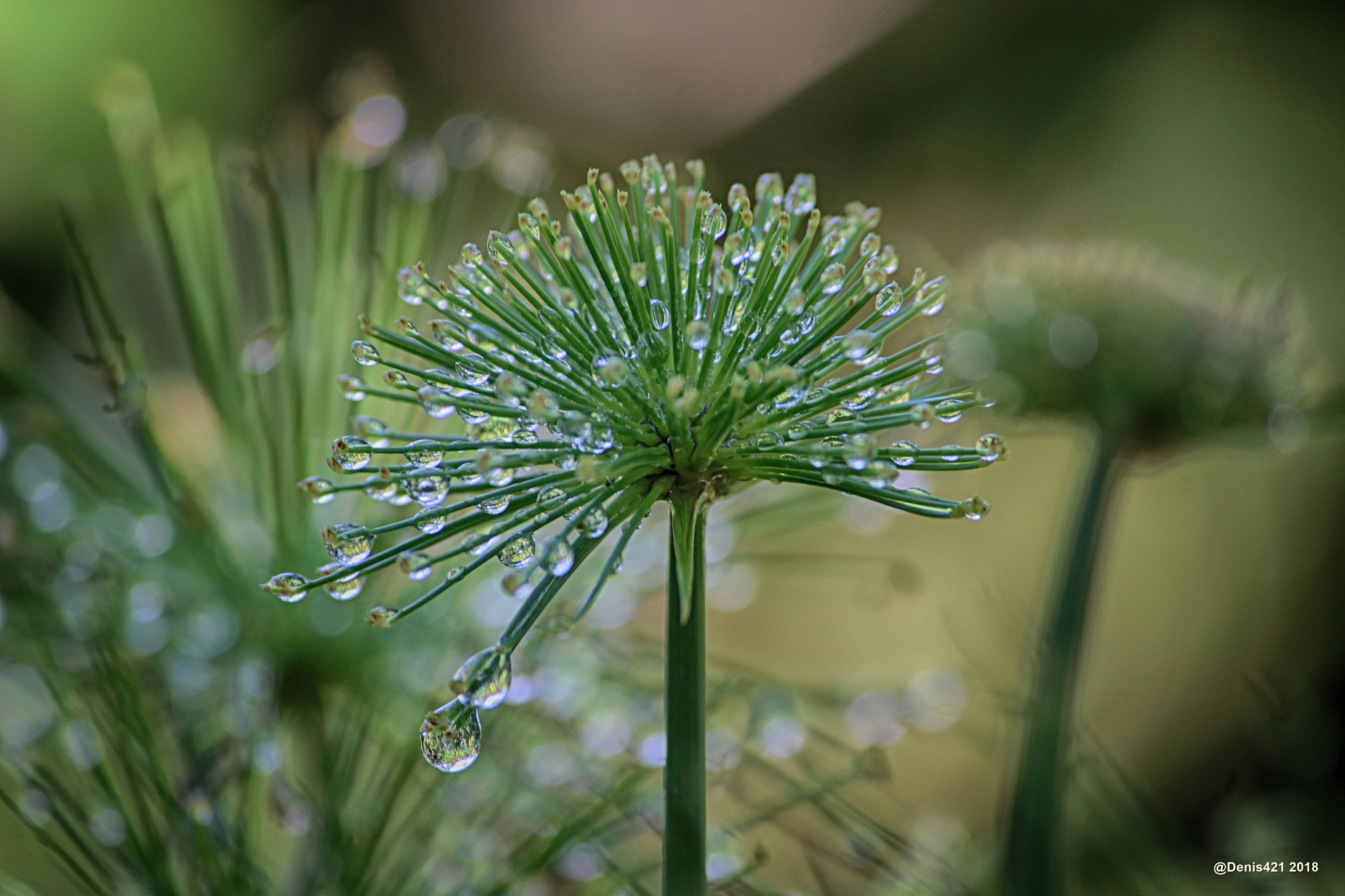 Dew drops by Denis Payet
