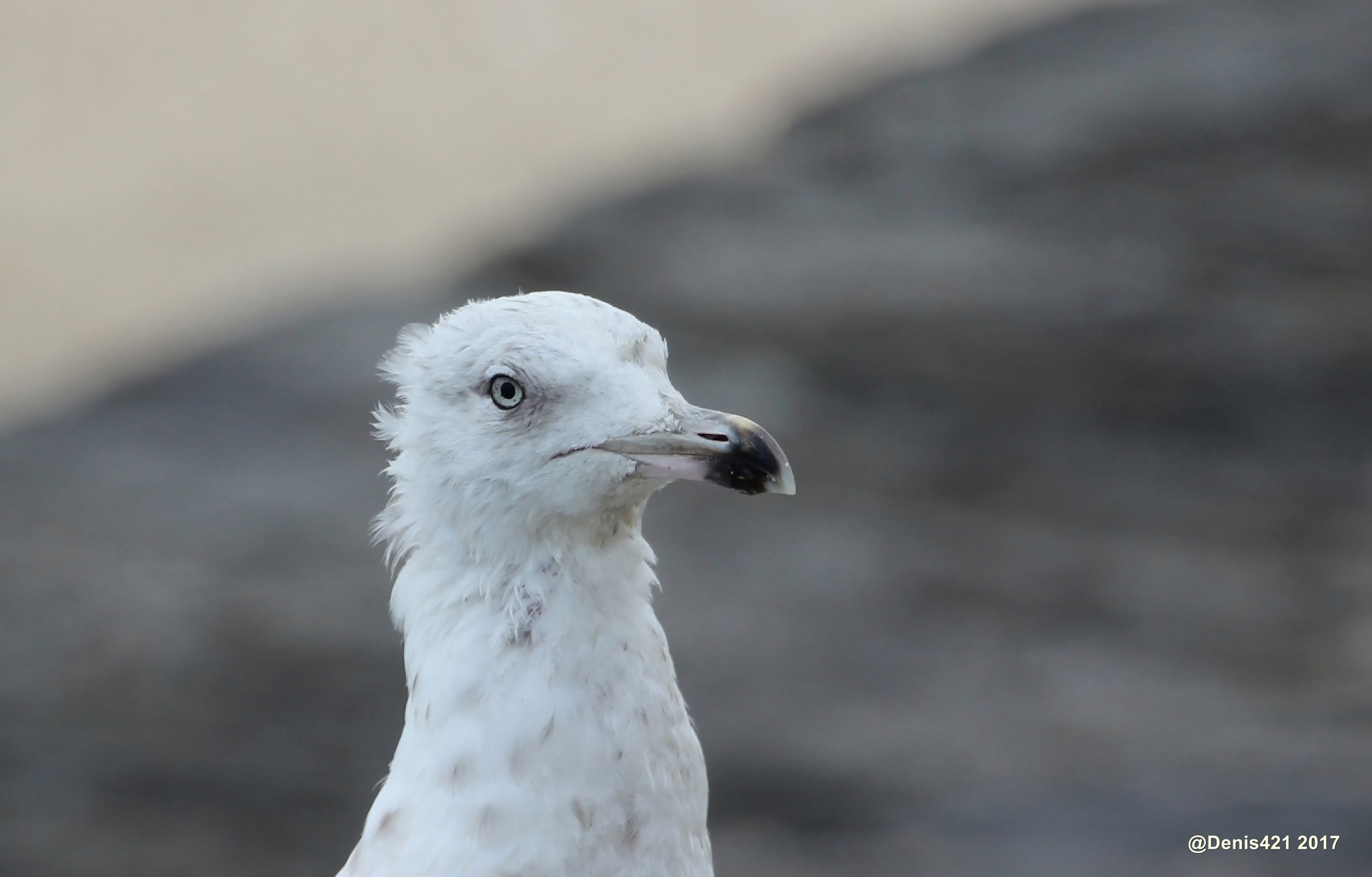 Young seagull  by Denis Payet