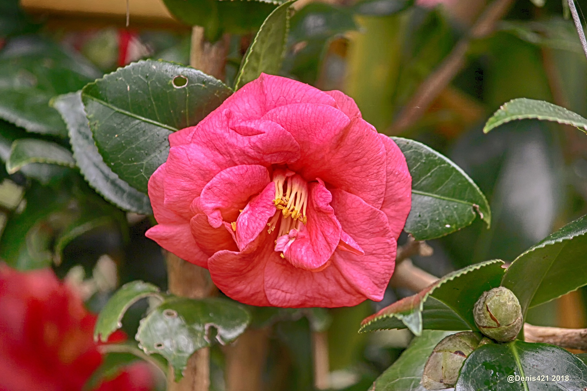 Camellia by Denis Payet