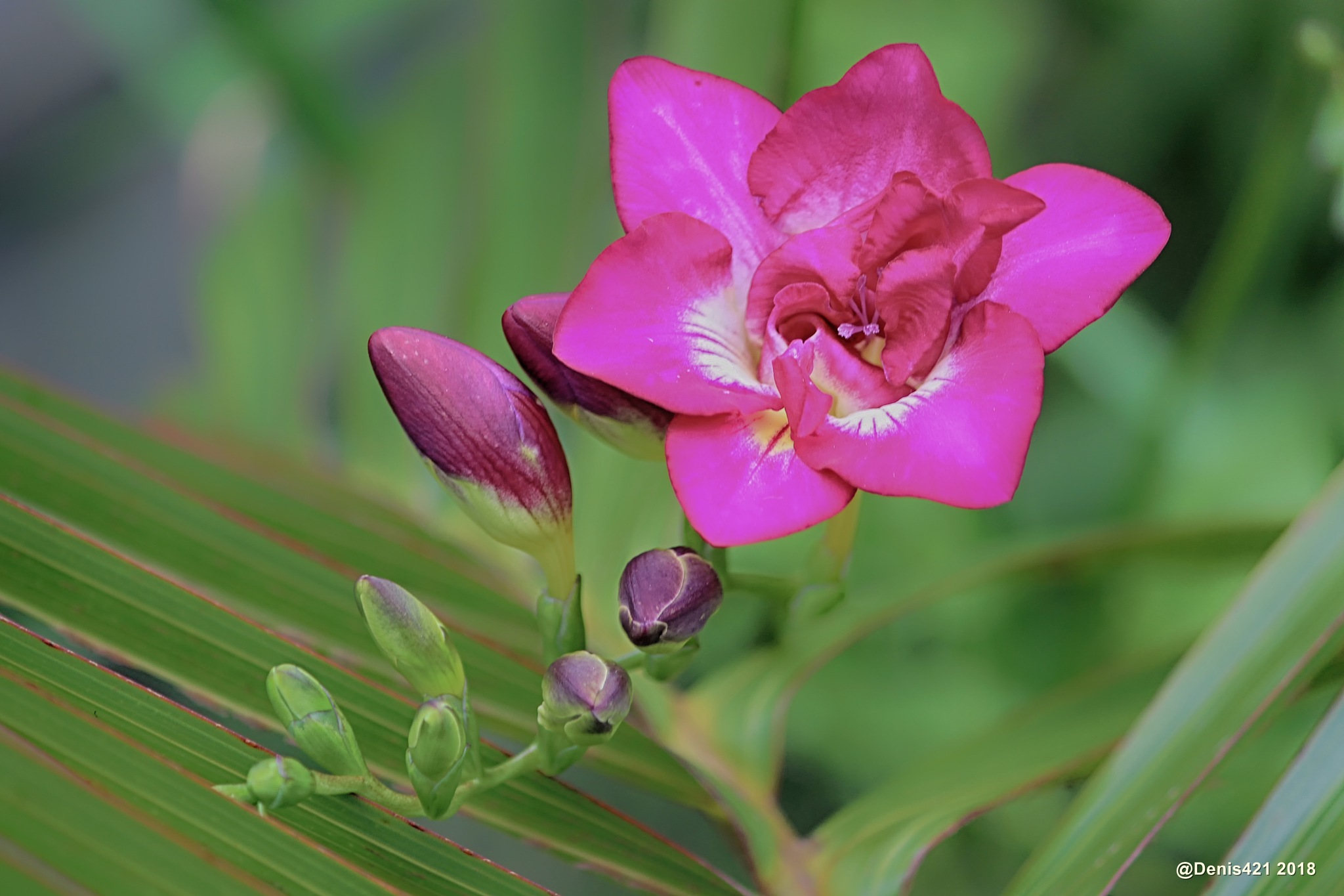 Freesia by Denis Payet