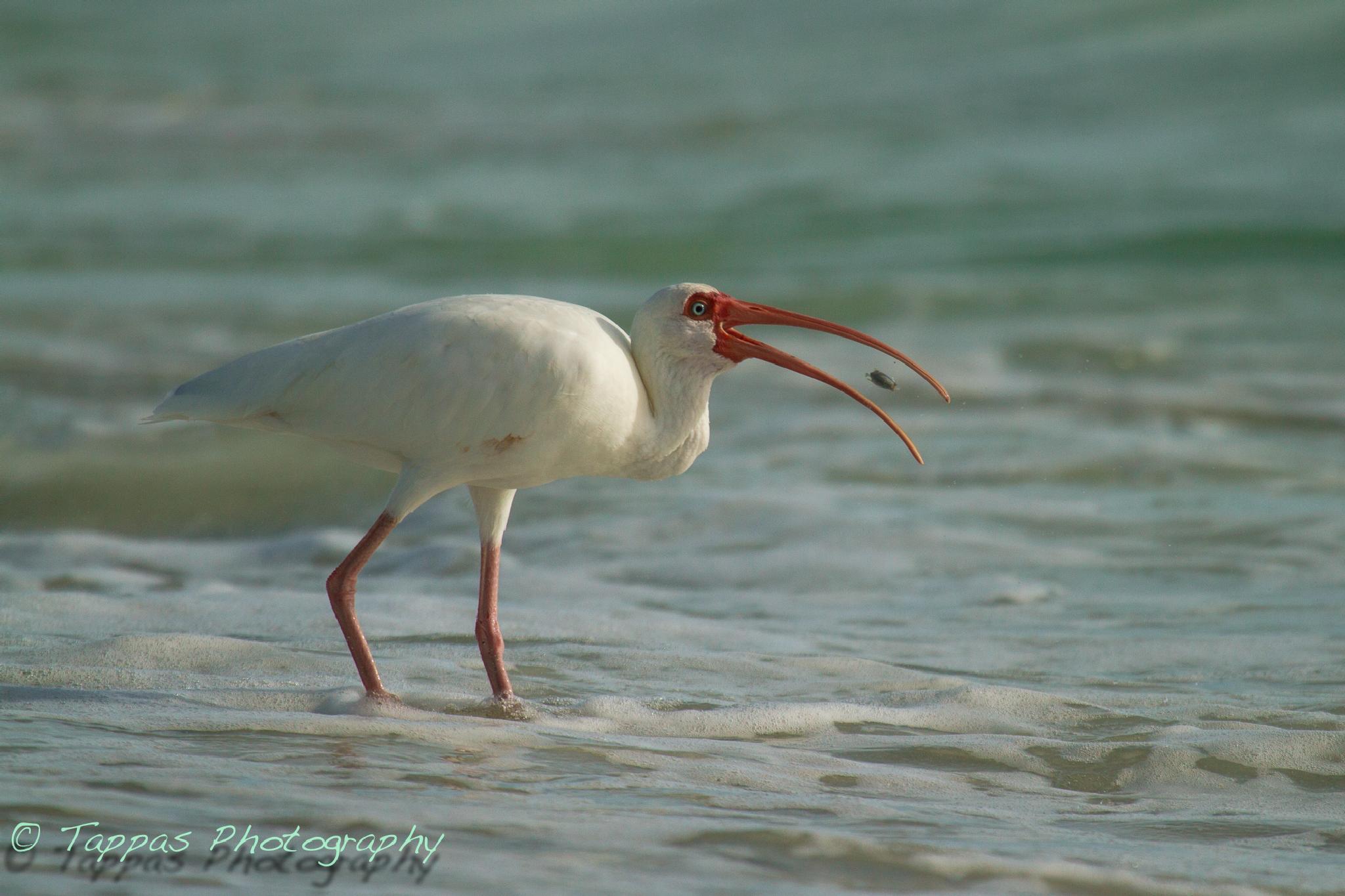 White Ibis with breakfast by Gary Truchelut