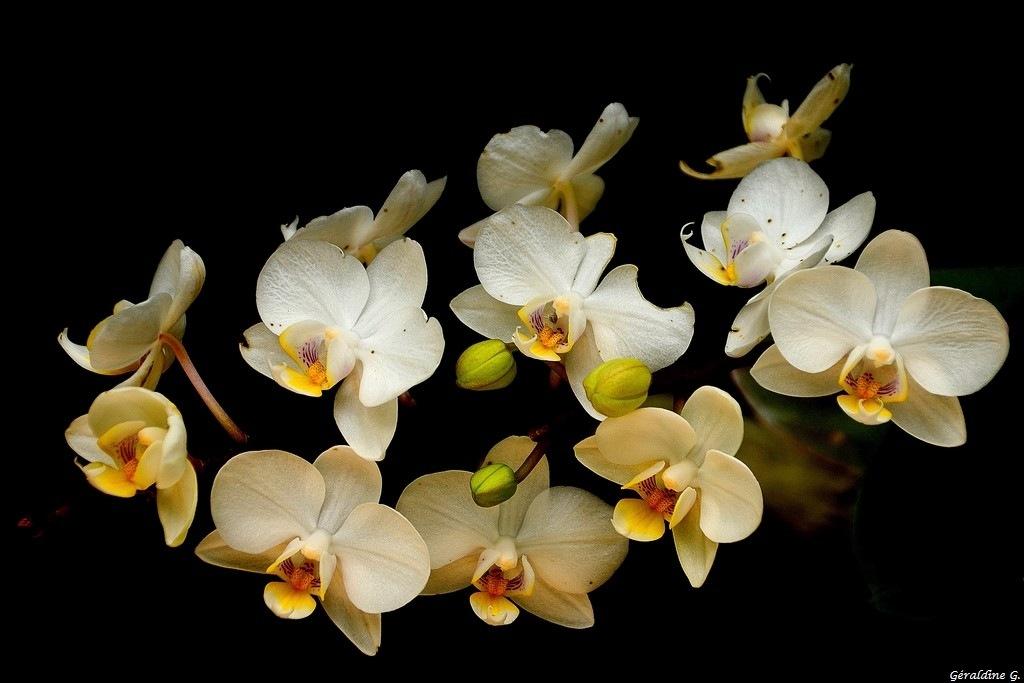 Orchidée... by eauderose
