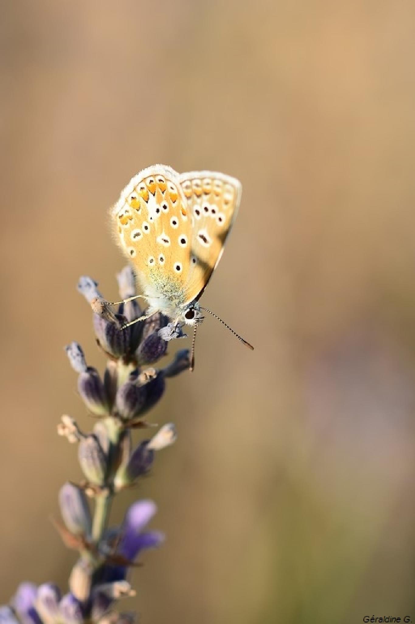 papillon by eauderose