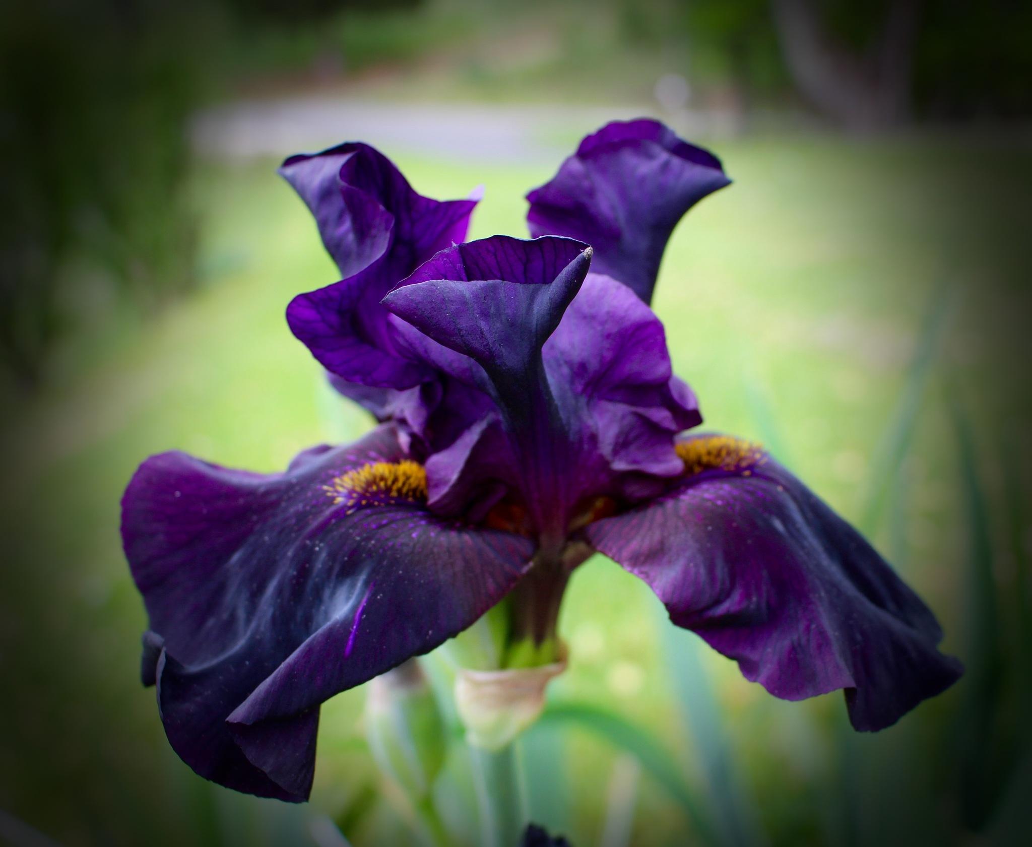 Iris by moquinn2