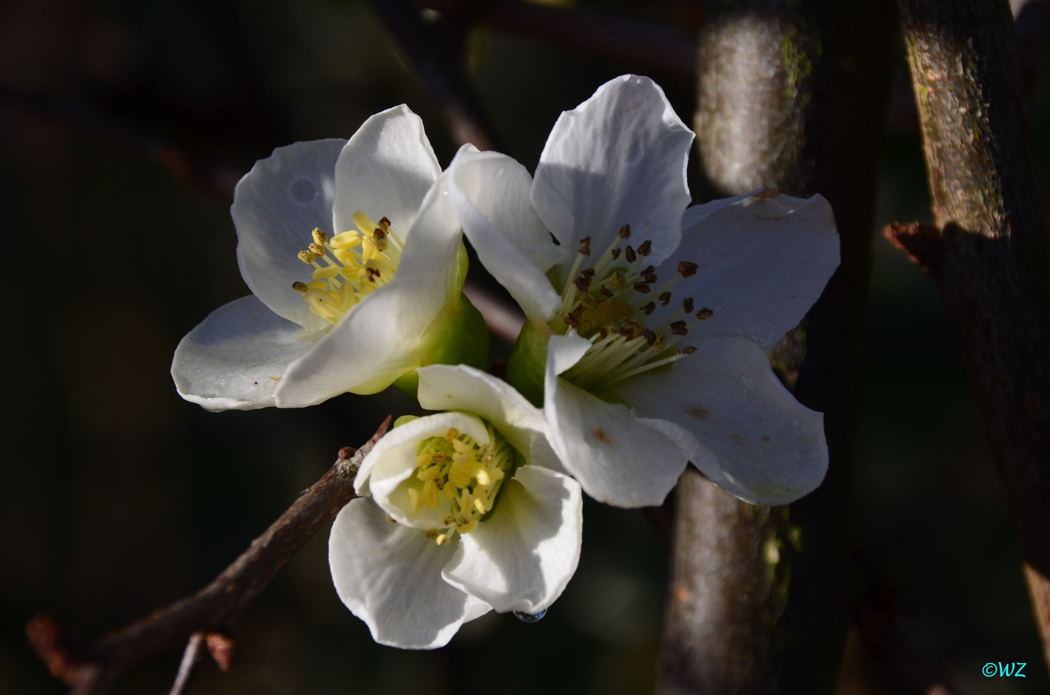 Springblossoms in... january by Walter Zangl