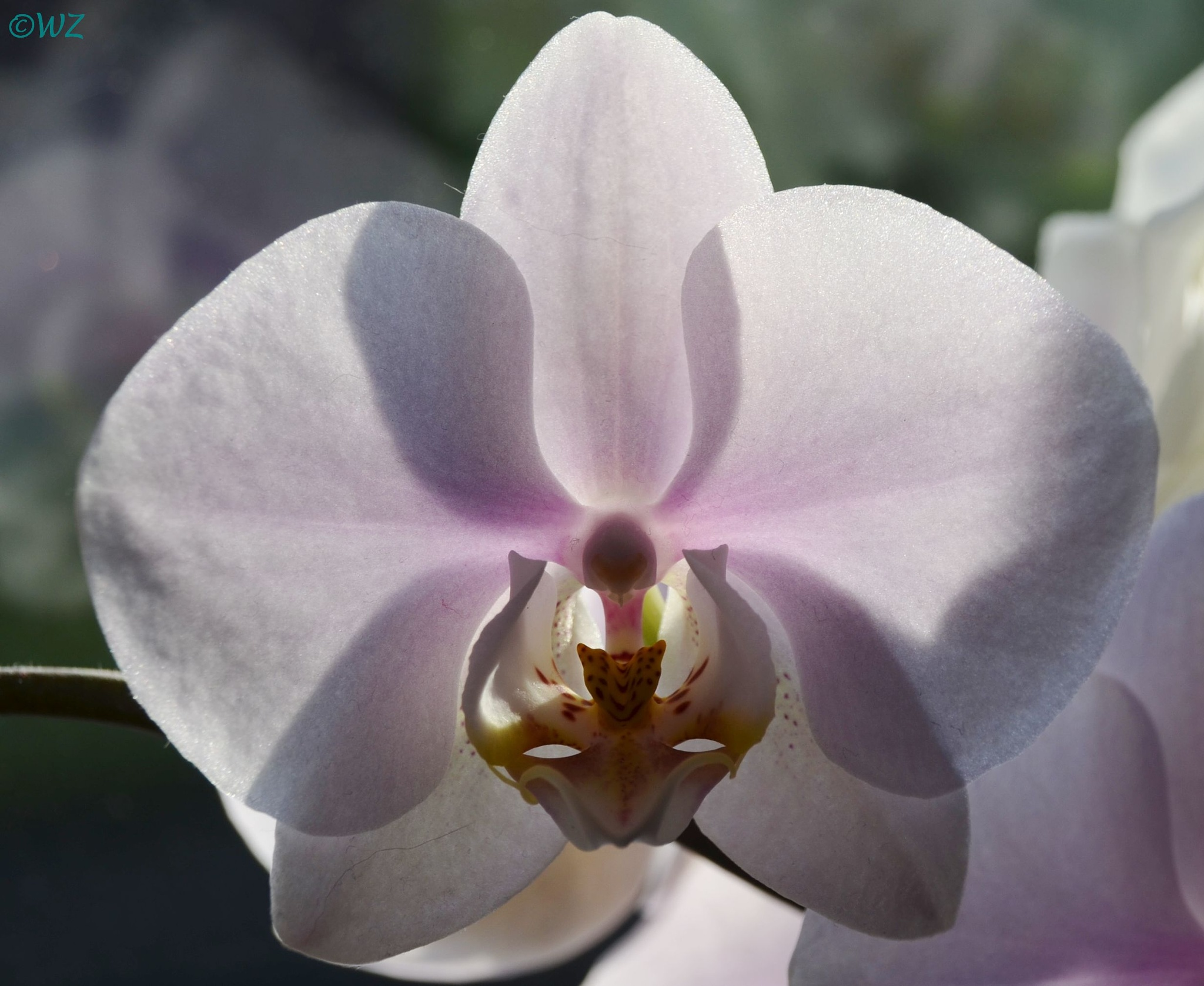 Orchid... by Walter Zangl