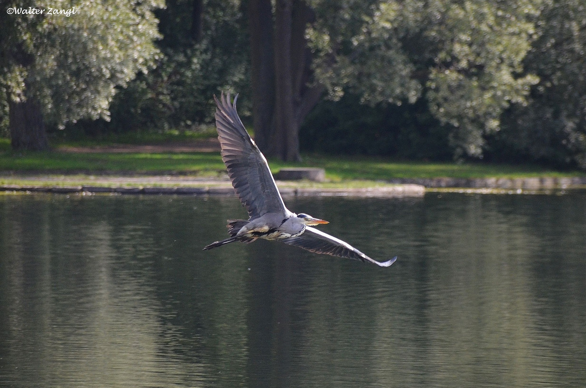 Flying heron by Walter Zangl