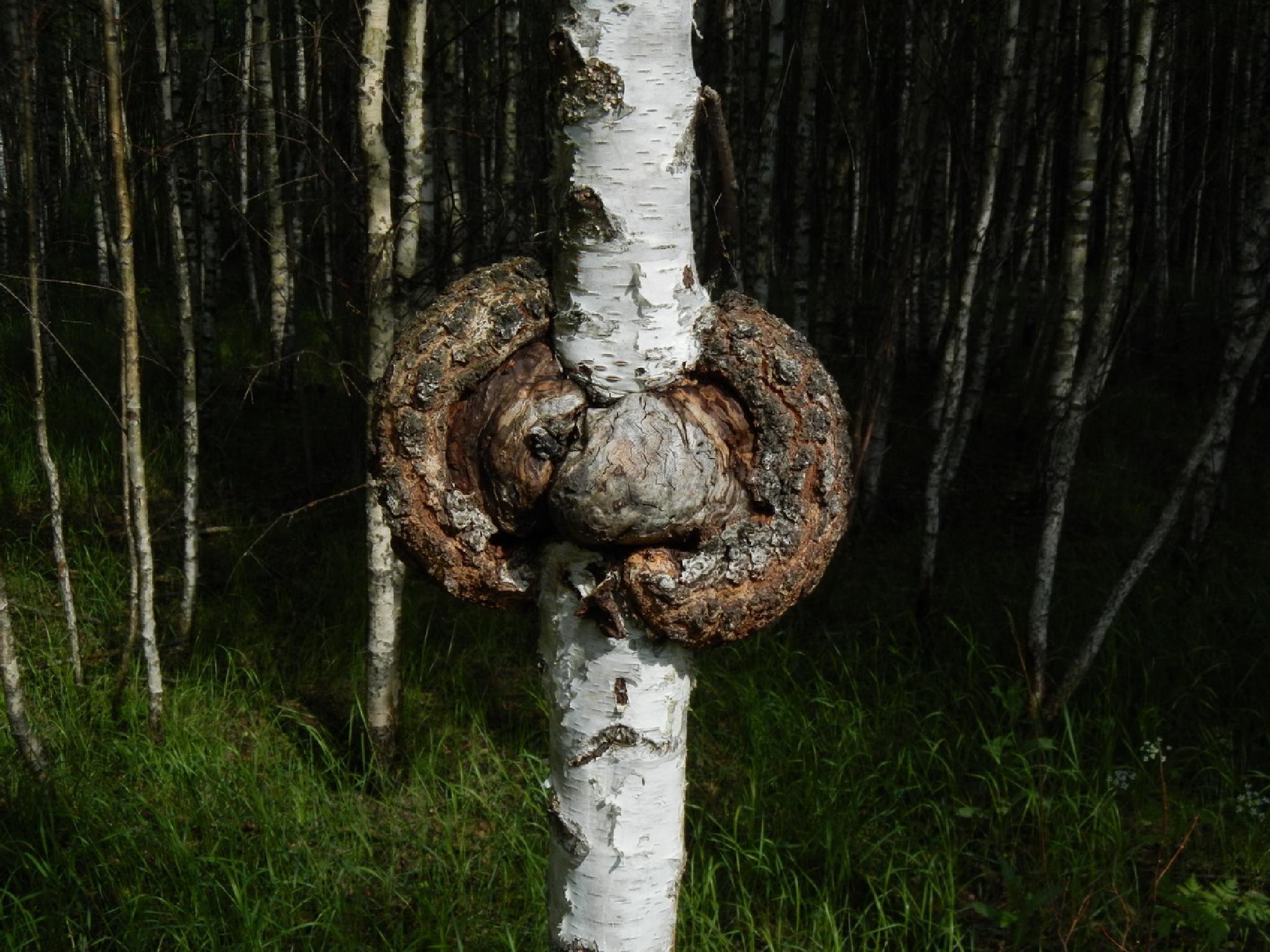 Birch oncology (Chaga) by Yurkoff Wladimir