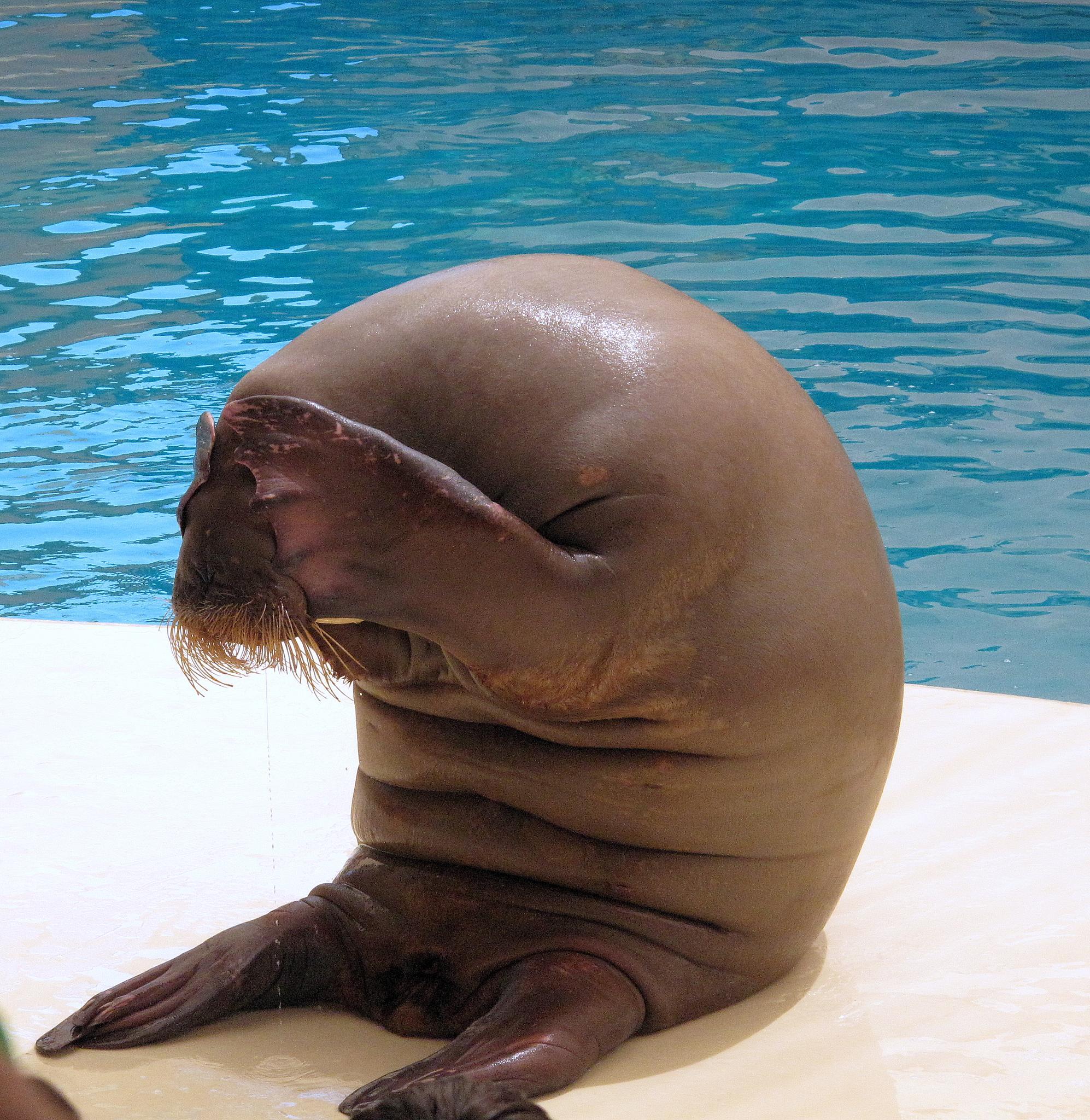 Shy walrus by Costin0509