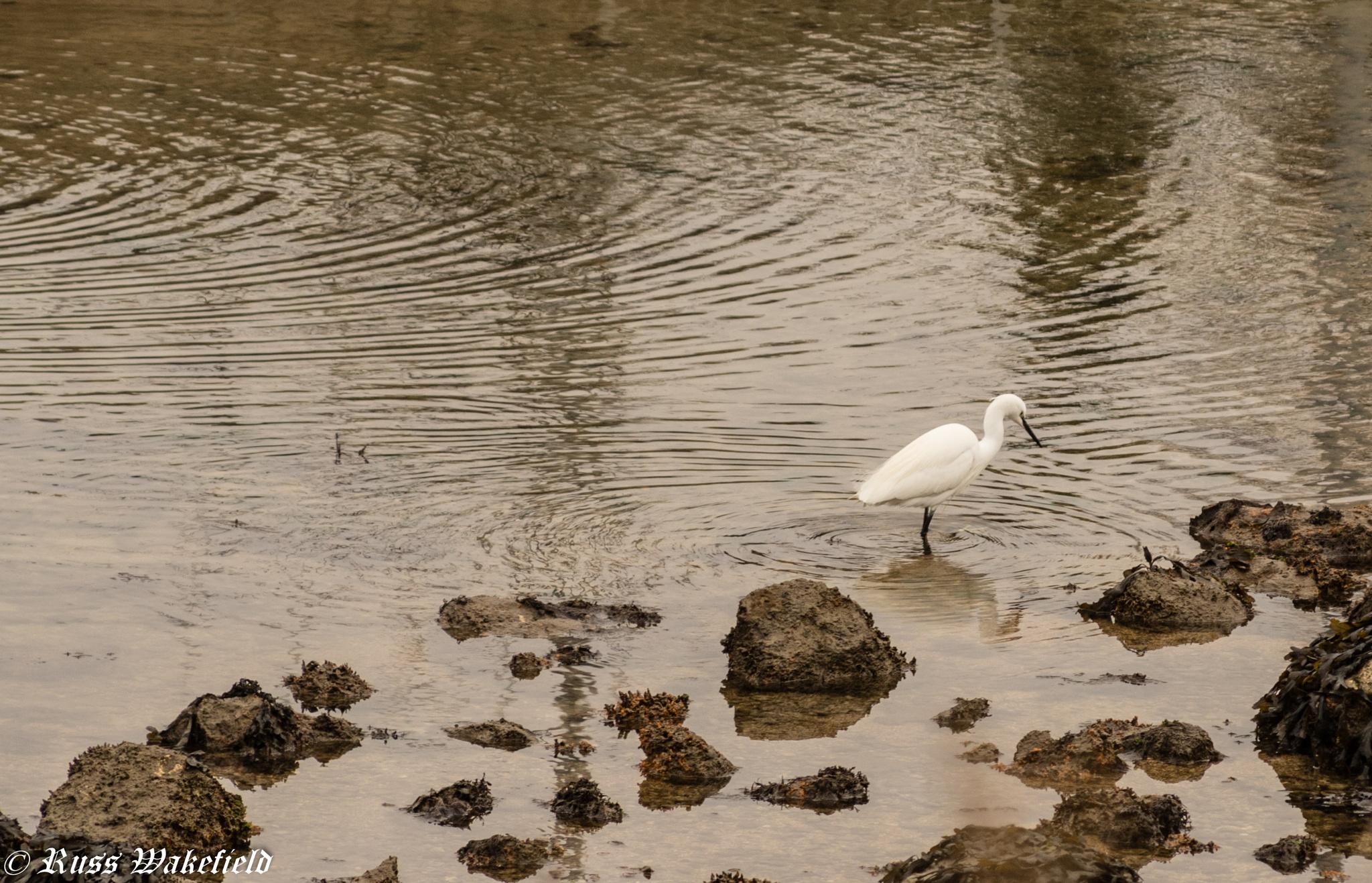 Little Egret by Wakey