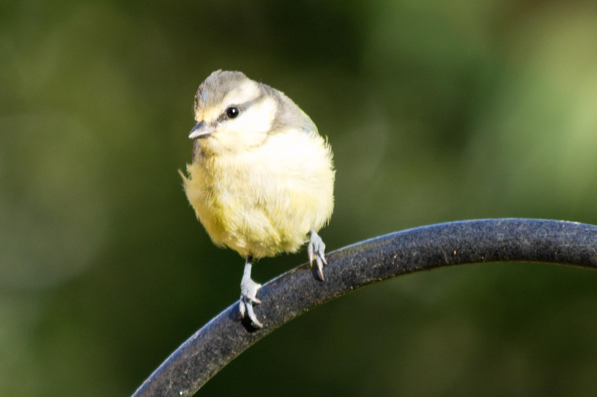 Young Tit by Wakey