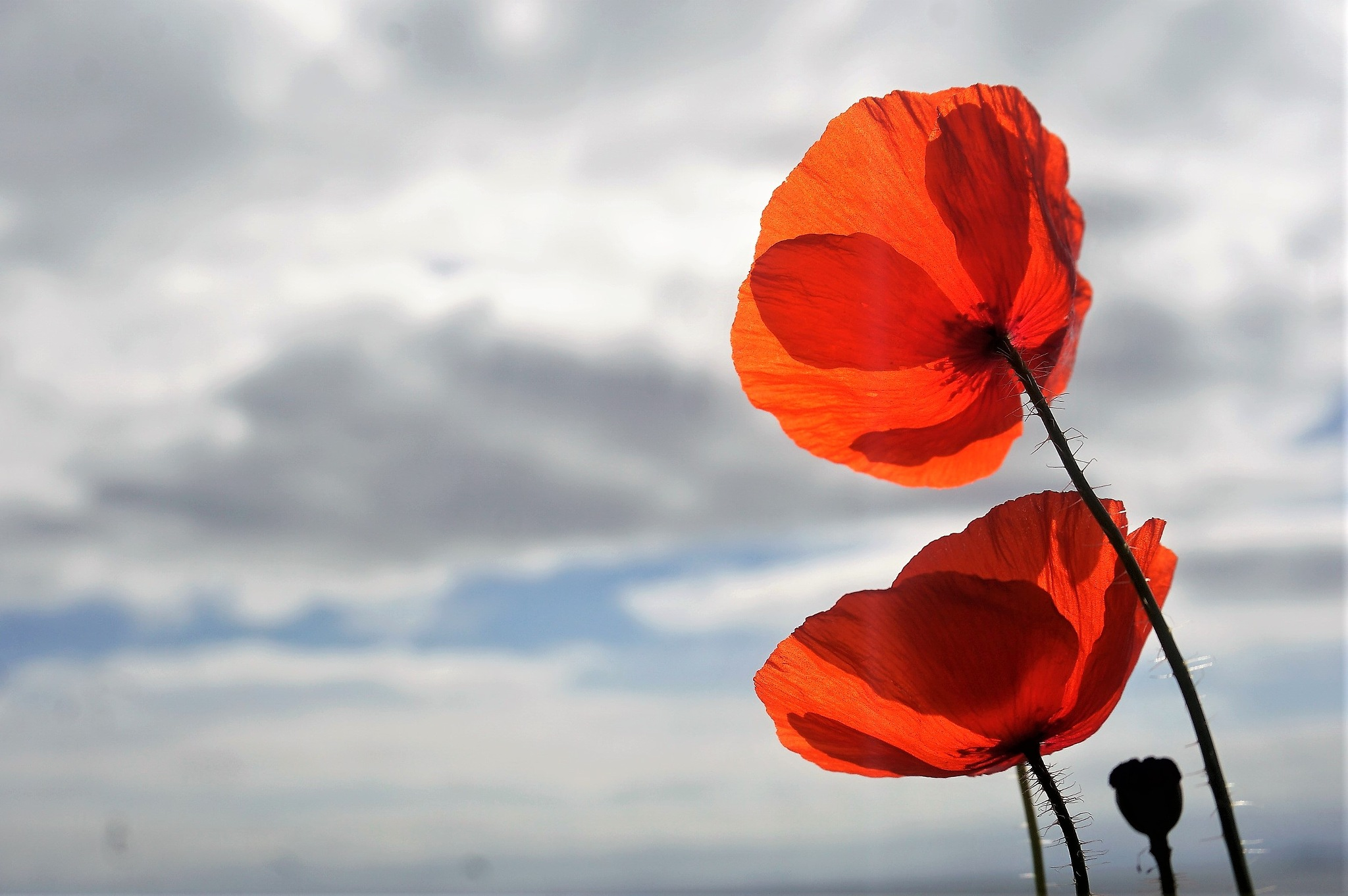 """""""Transparent Poppies"""" by Thania Wehmeyer"""