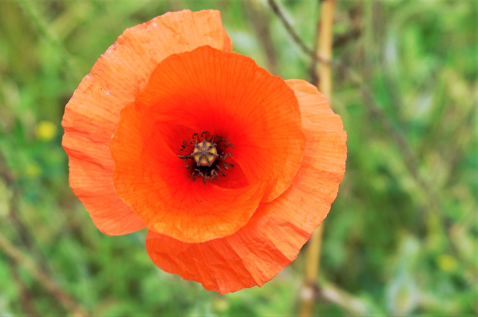 """""""Crinkle Paper Poppy"""" by Thania Wehmeyer"""