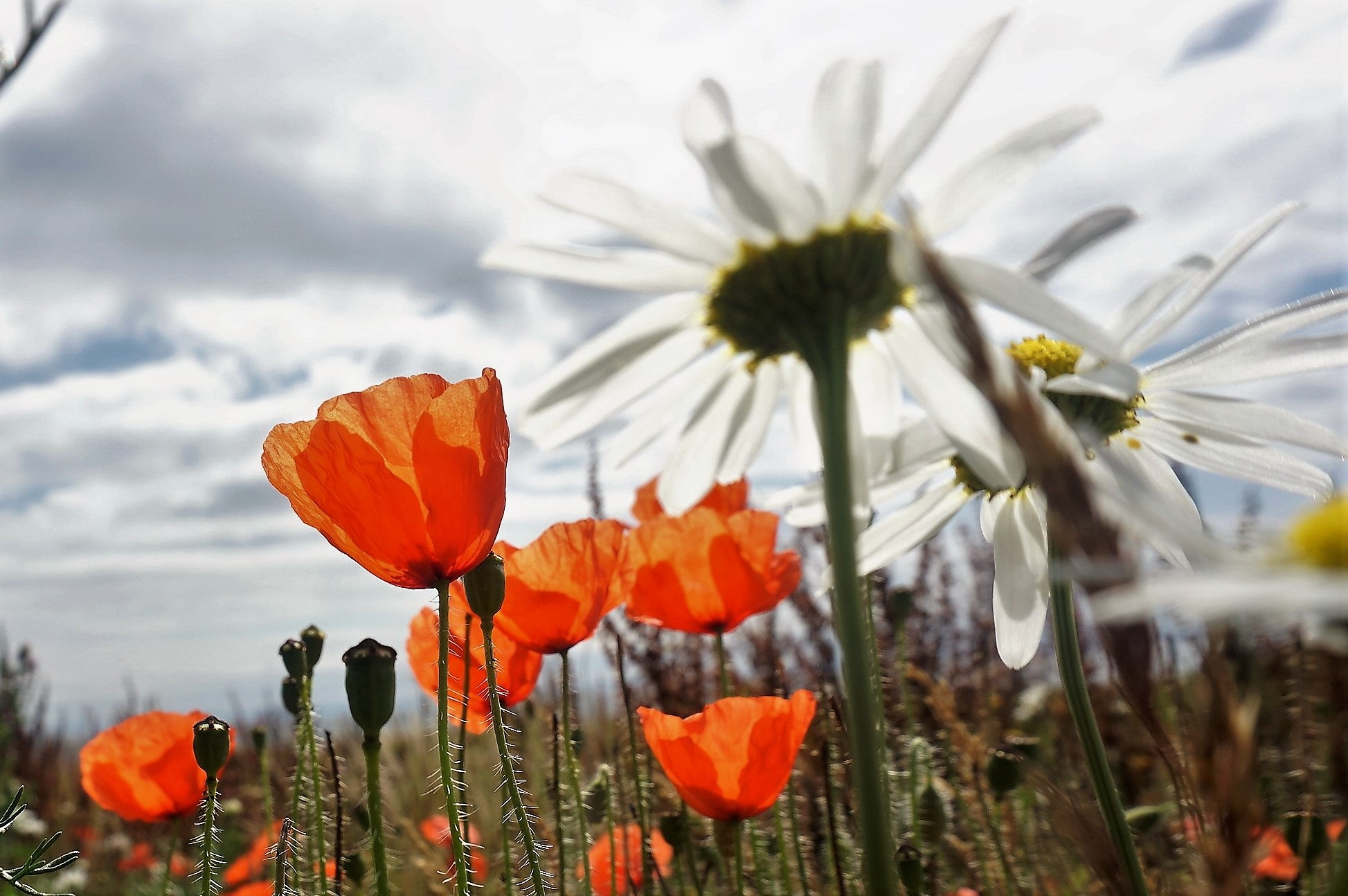 """""""Daisies and Poppies"""" by Thania Wehmeyer"""
