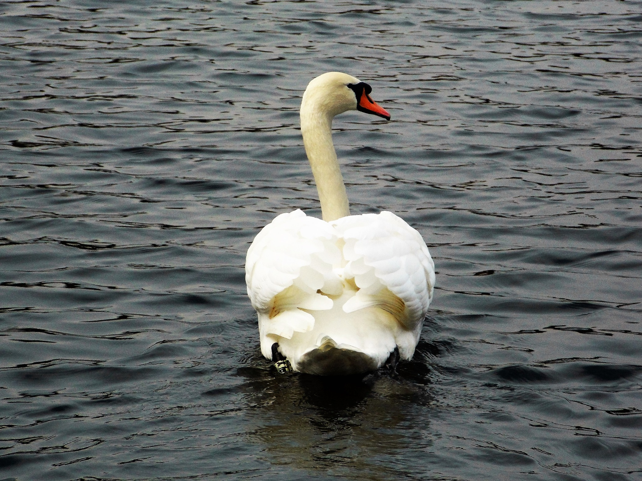"""""""Swan"""" by Thania Wehmeyer"""