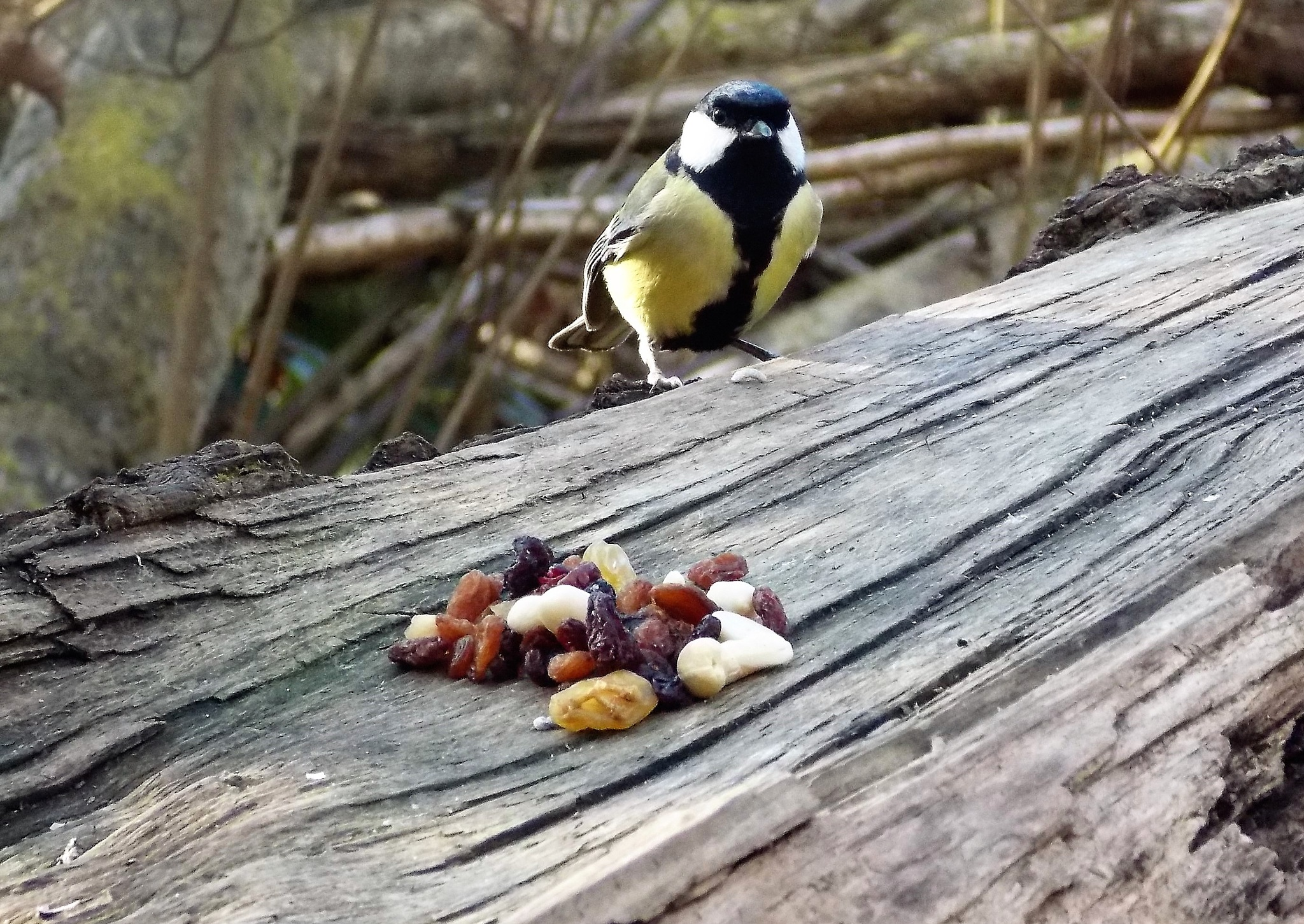 """""""Great Tit"""" by Thania Wehmeyer"""