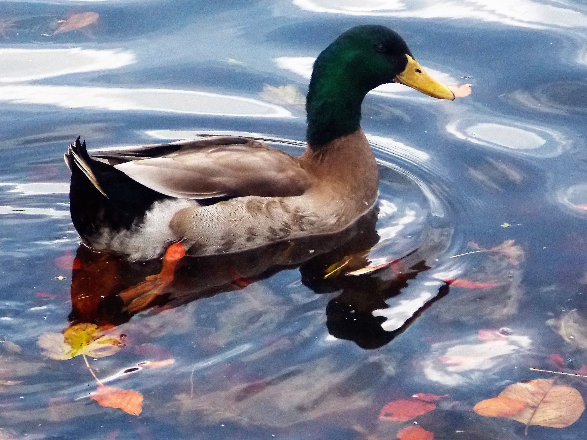 """Mallard Duck"" by Thania Wehmeyer"