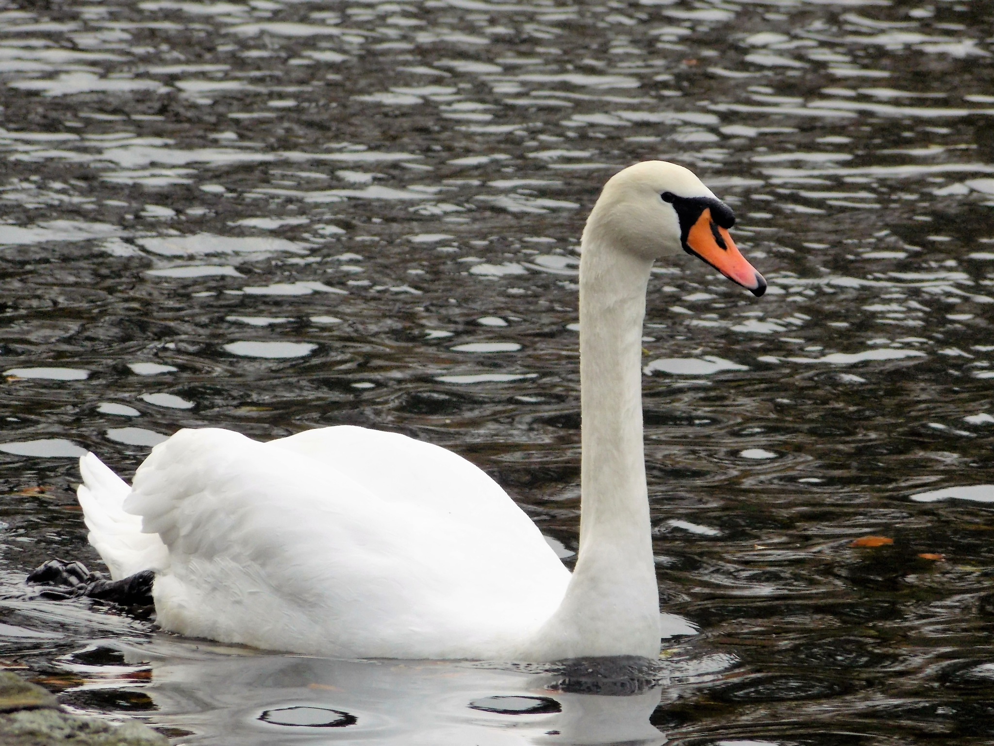 """""""Graceful Swan"""" by Thania Wehmeyer"""