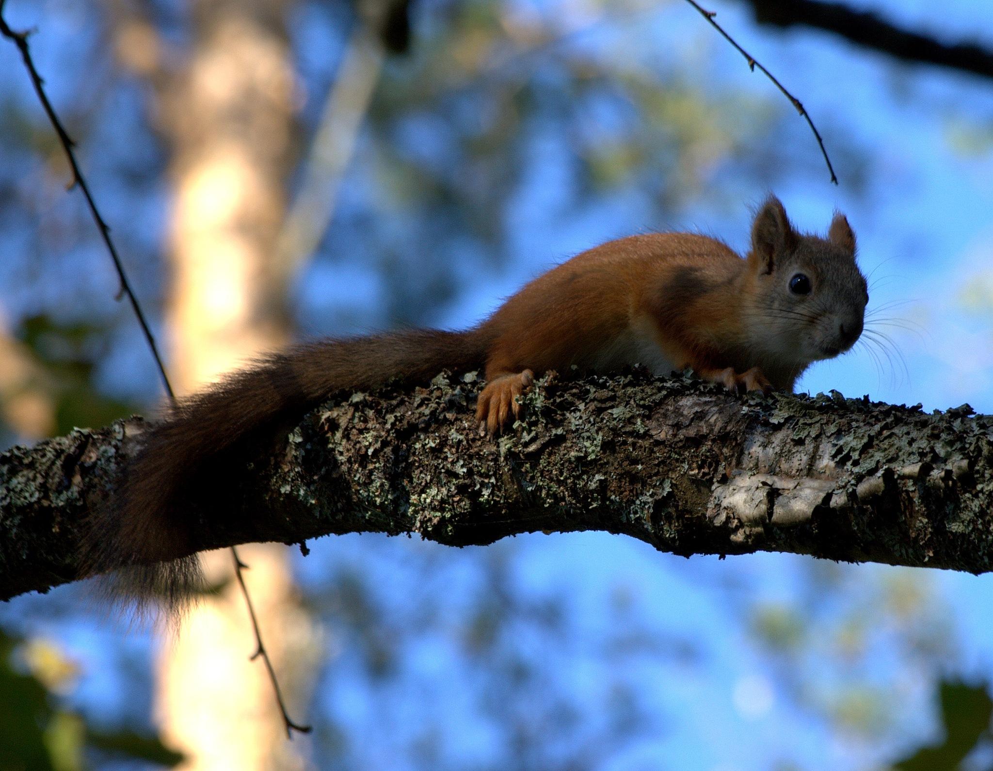 Autumn first squirrelguest by antsatykkylainen