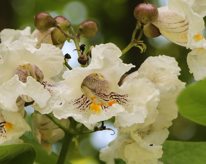 Catalpa Blossoms by Gail Hunn