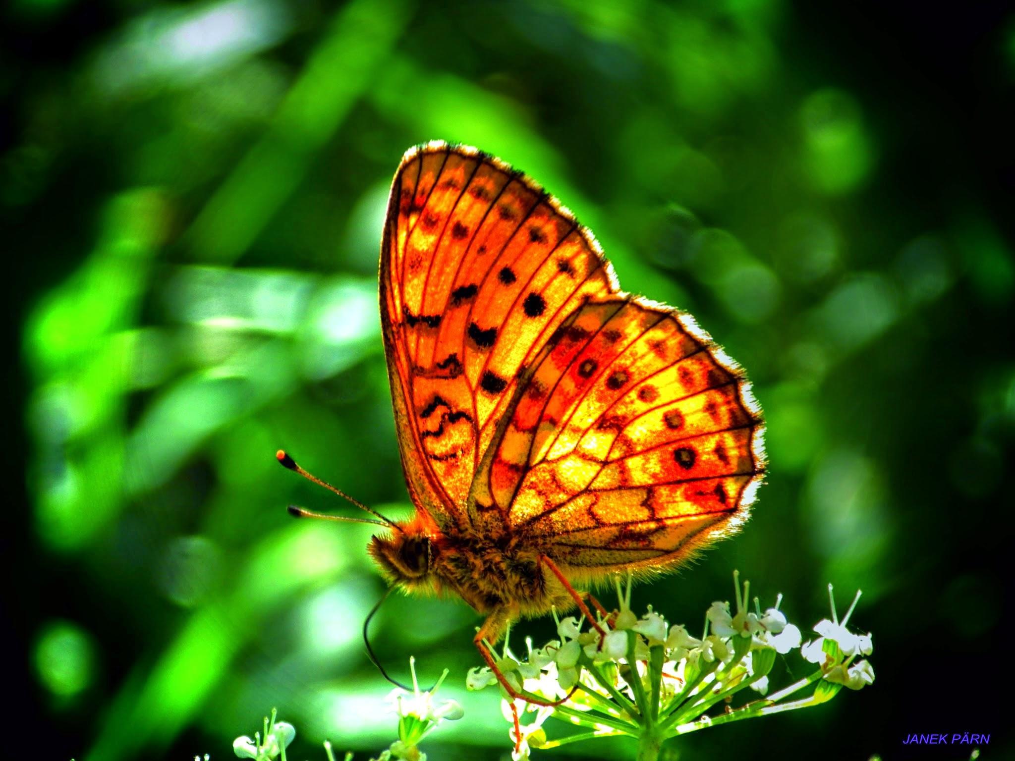 butterfly by pildistaja1