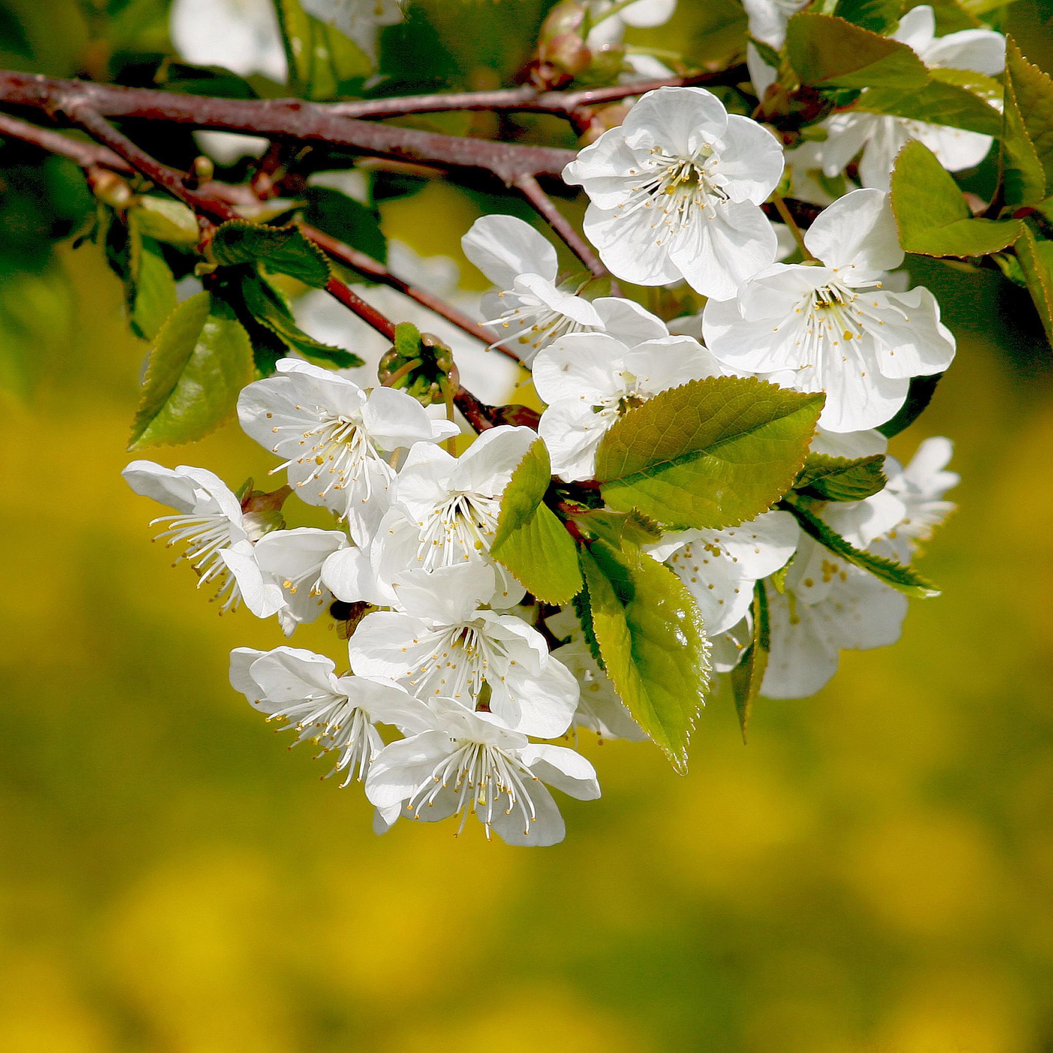 Cherry blossom by regzech