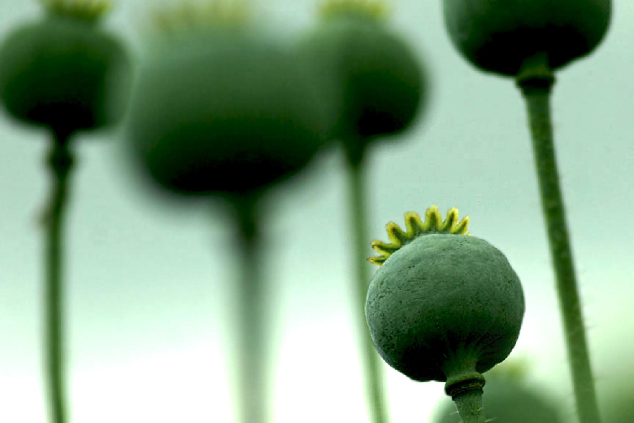 Poppy by regzech