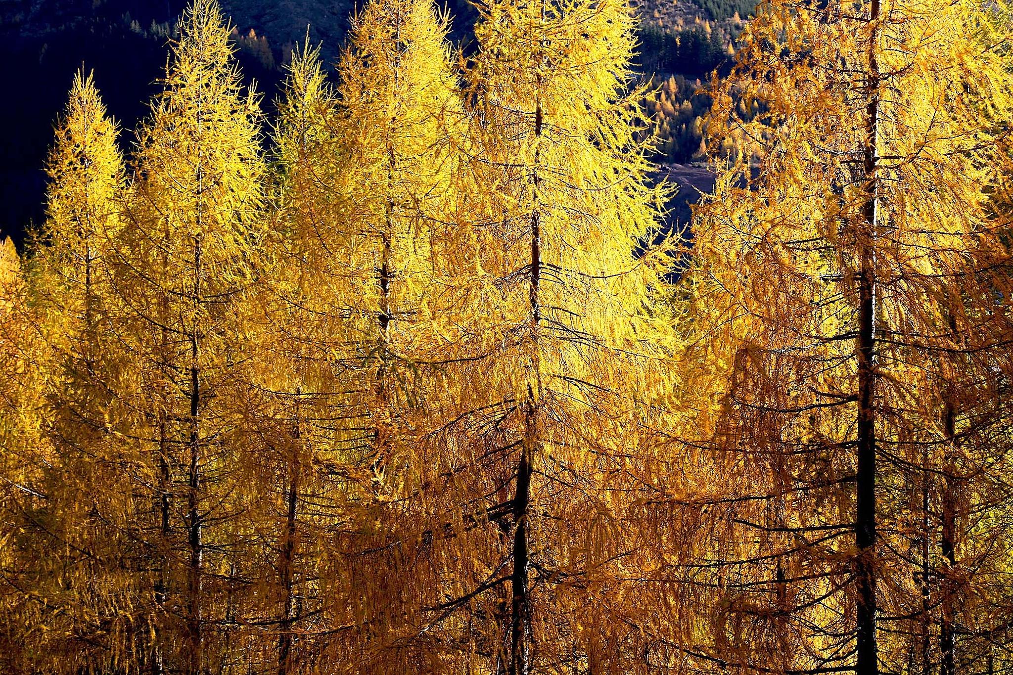 Autumn gold by regzech