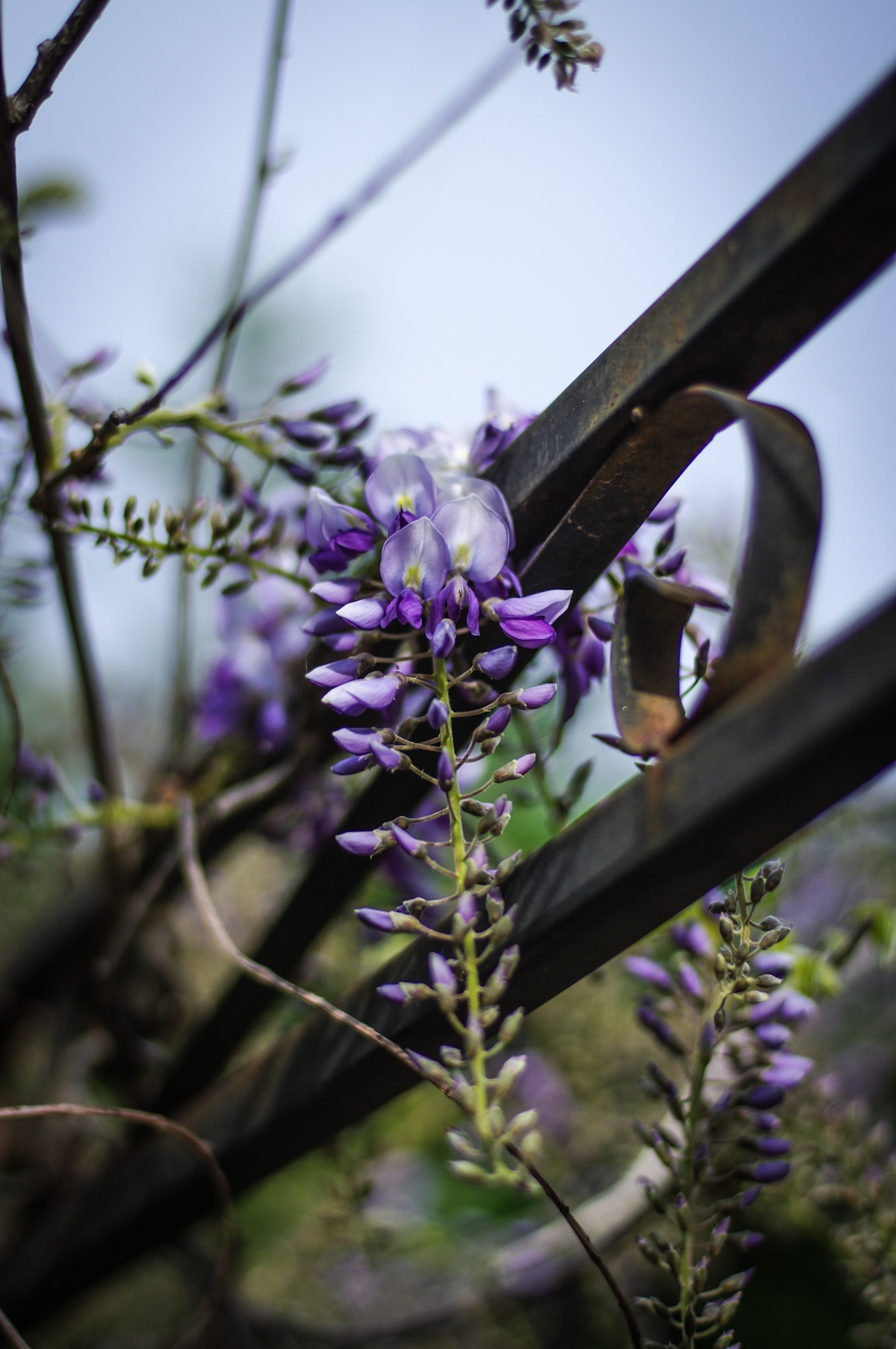 wisteria buds by Angelo Petrozza
