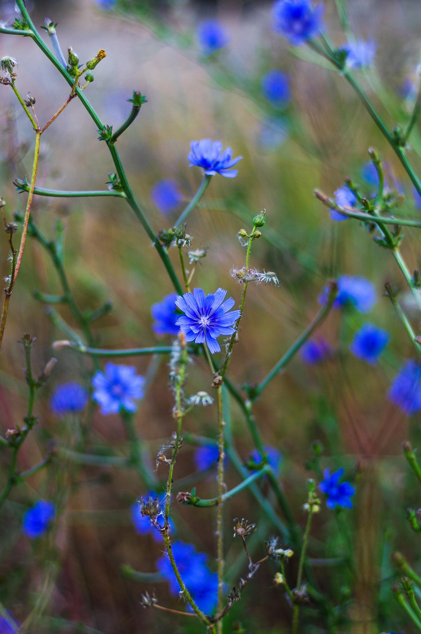 blue flowers by Angelo Petrozza